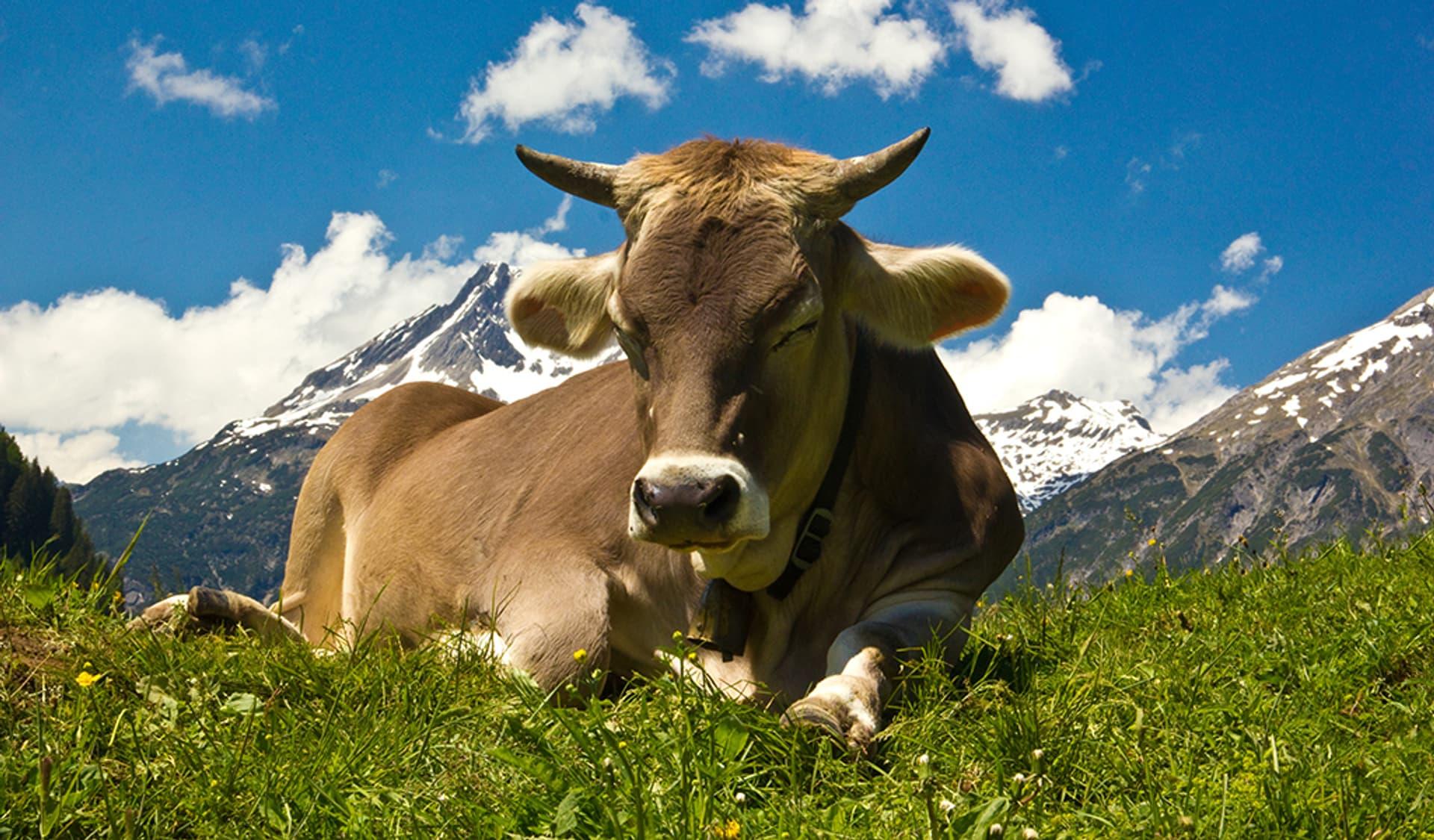Kuh liegt im Gras mit Berglandschaft