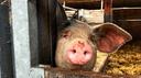 Ein Schwein schaut aus einem Stalltor heraus.