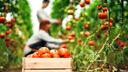 Tomatenkiste zwischen Tomatenpflanzen