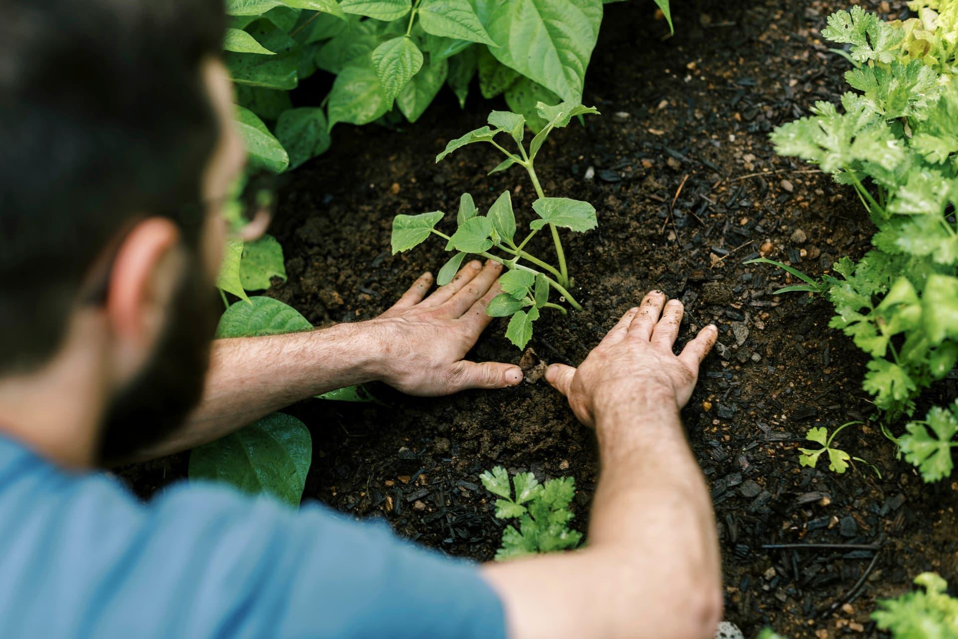 Mann pflanzt Grünpflanze ein