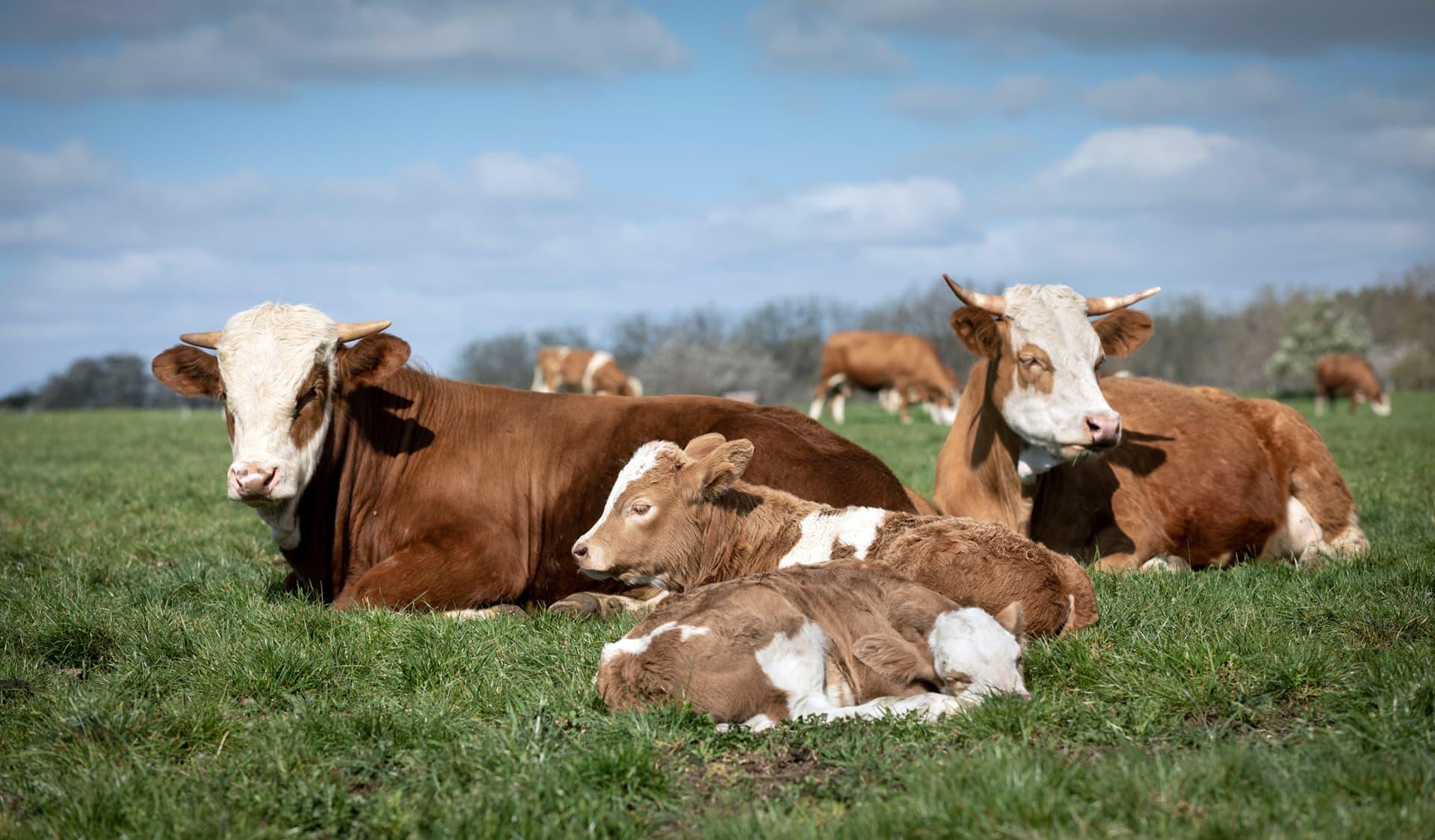 Uria-Kühe mit Kälbern auf Wiese