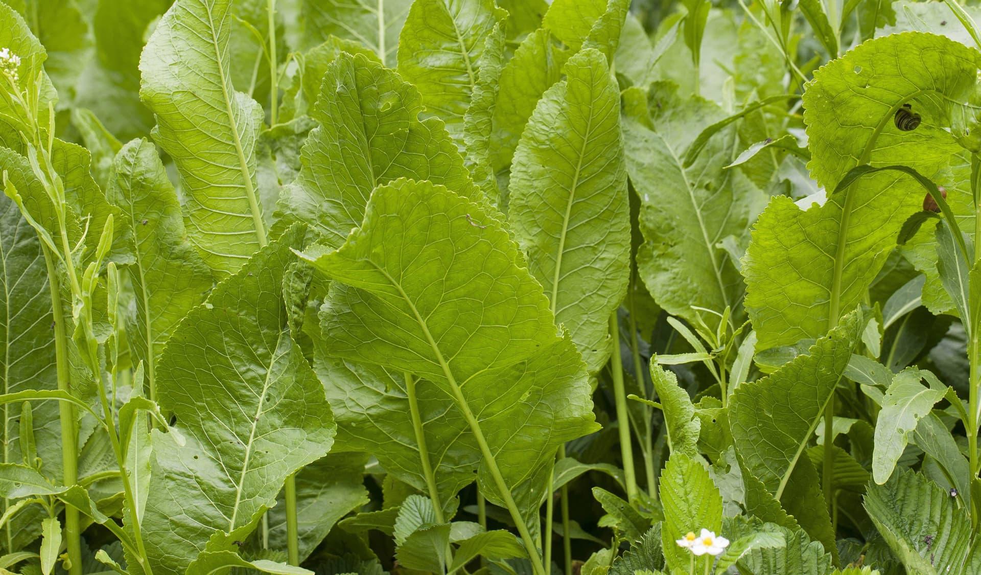 Meerrettich-Blätter