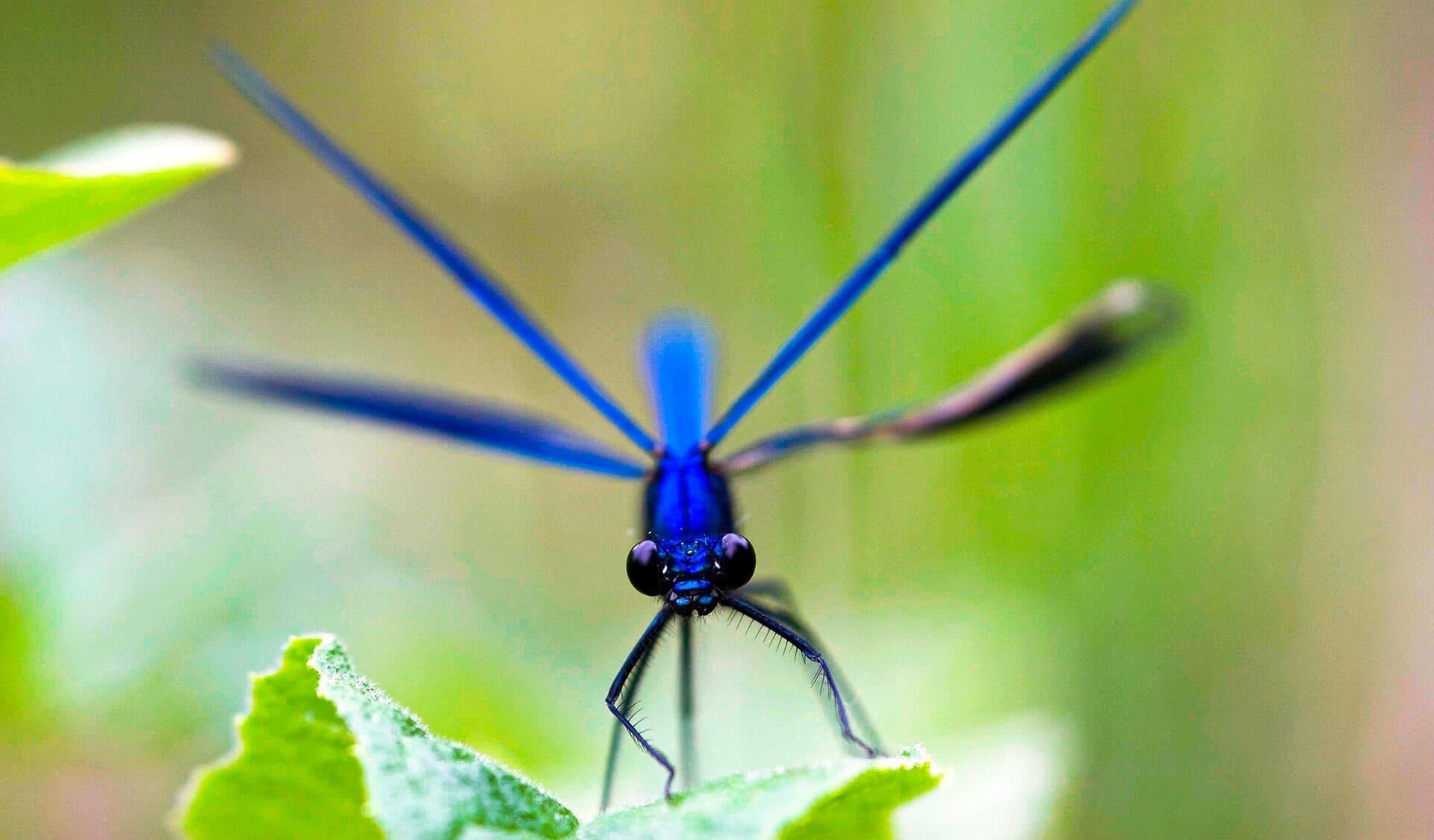 Eine blaue Libelle in Nahaufnahme