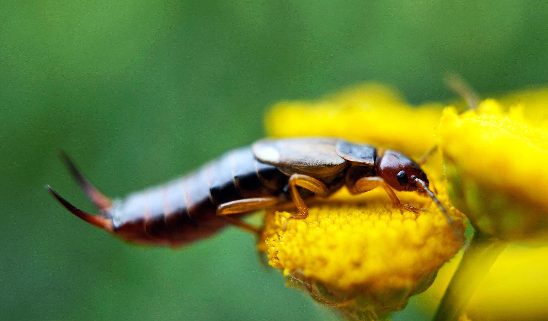 Ein Ohrenzwicker sitzt auf einer gelben Blüte