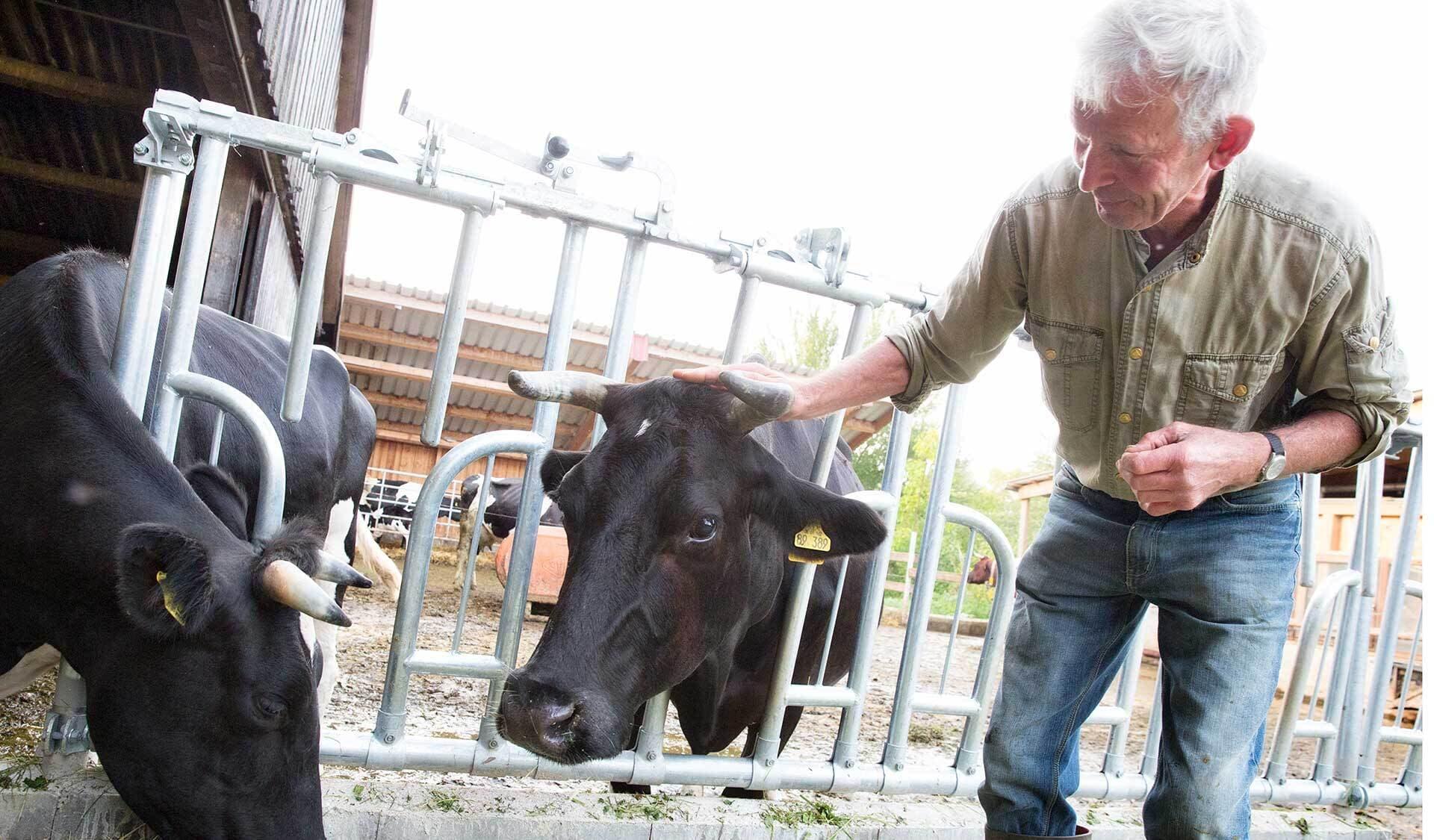 Albert Teschemacher bei den Kühen