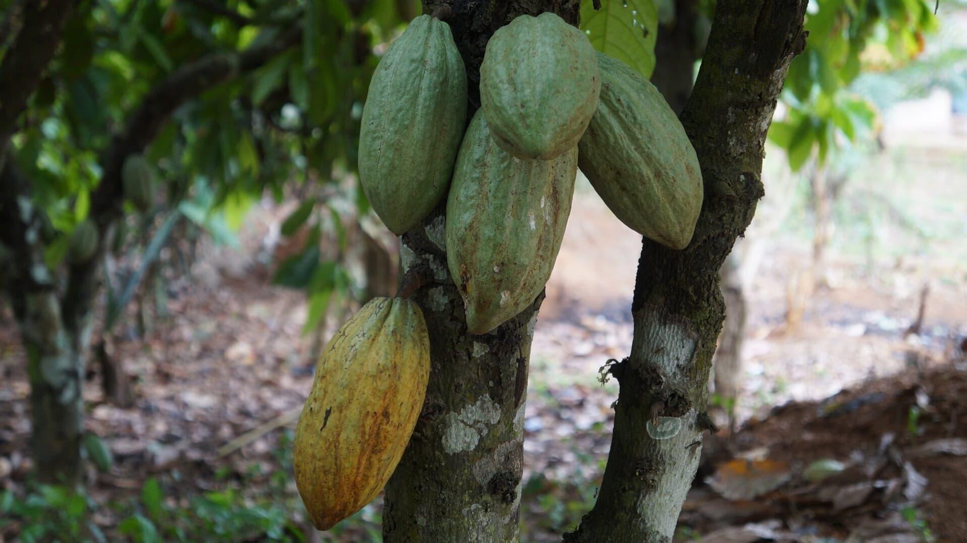 Kakaobaum auf einer Plantage in Ghana