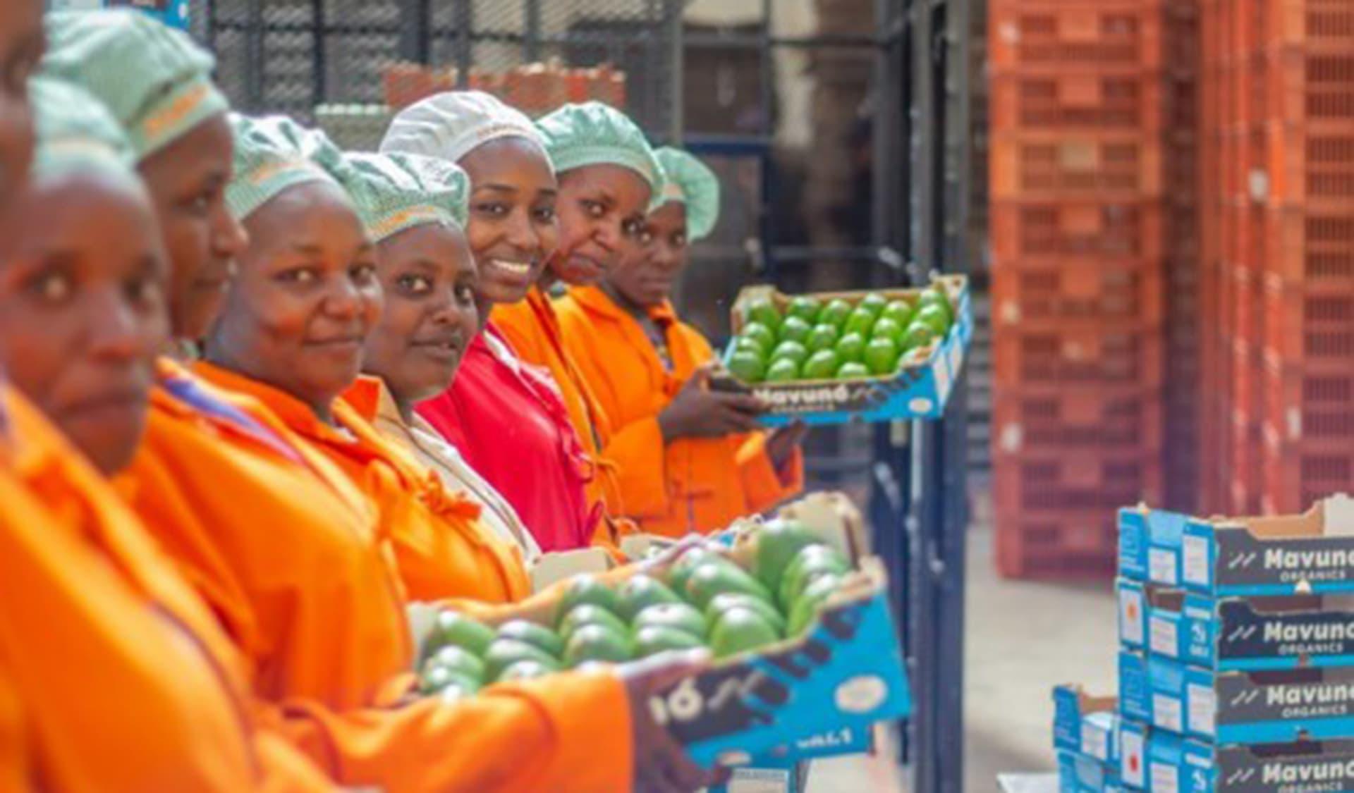 Angestellte eines kenianischen Avocado-Lieferanten