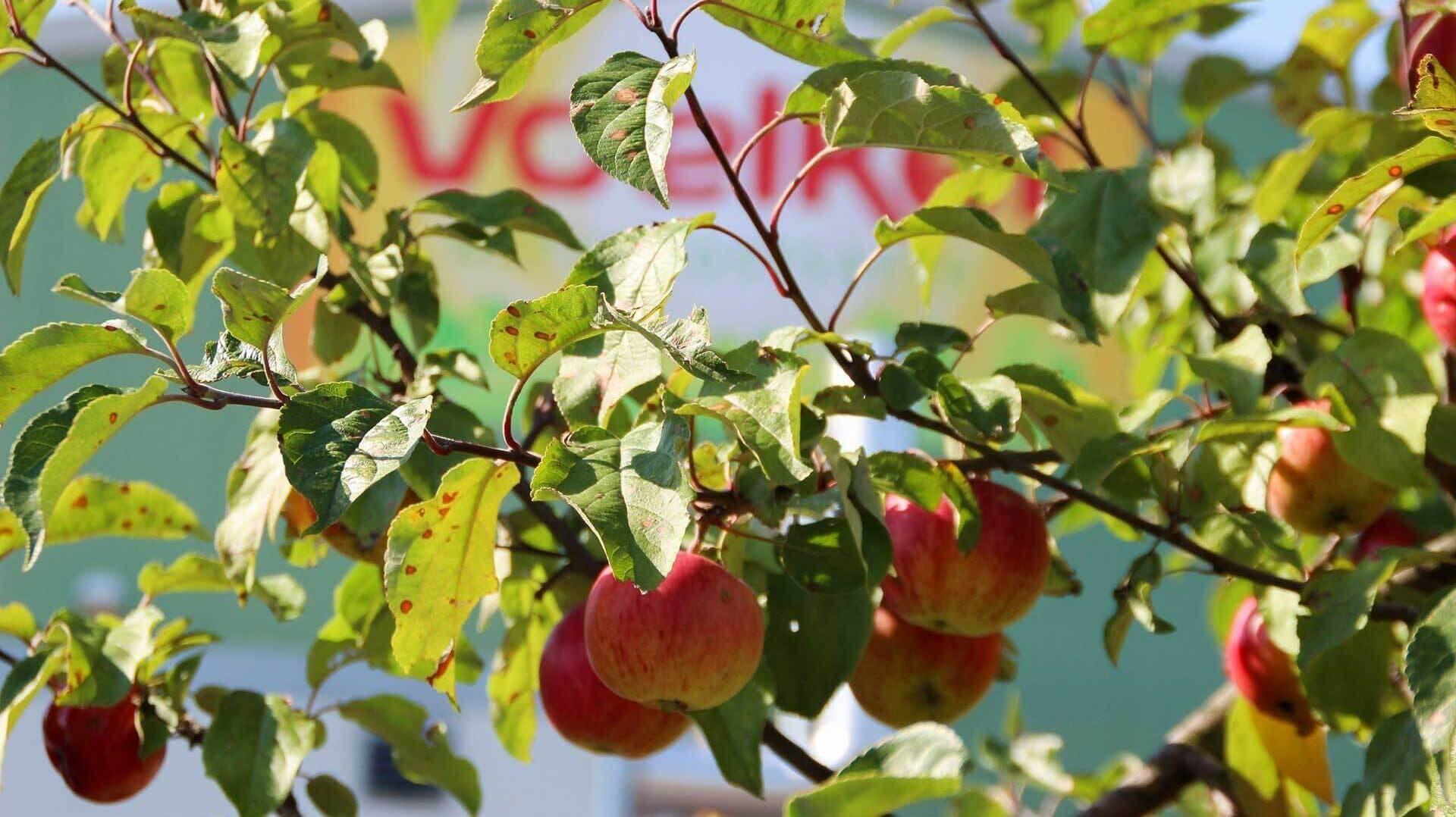 Voelkels Produktionshalle durch das Geäst eines Apfelbaums hindurch fotografiert