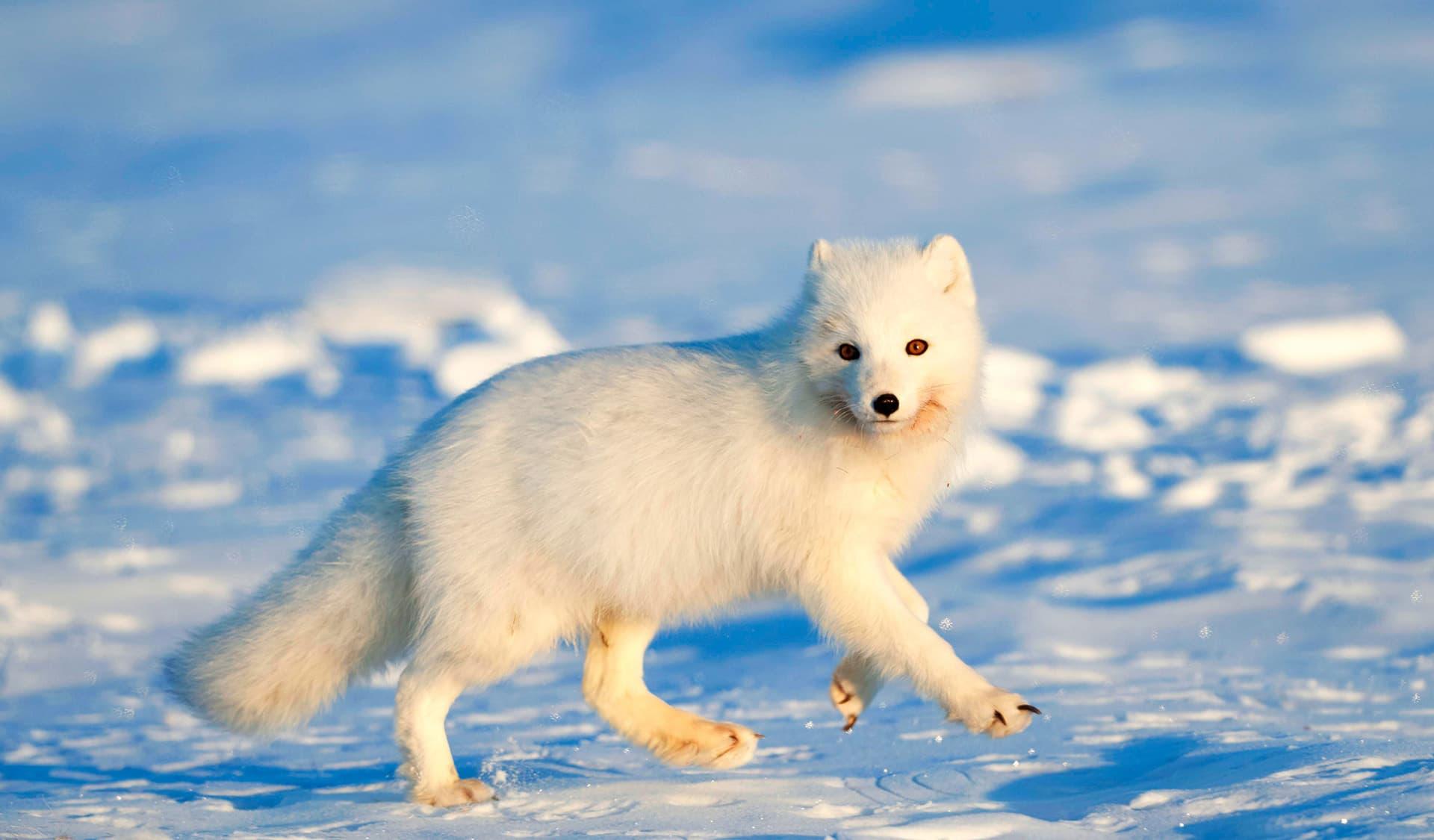 Polarfuchs in der Arktis