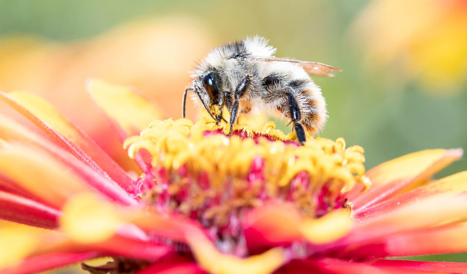 Frühlings-Seidenbiene beim Bestäuben
