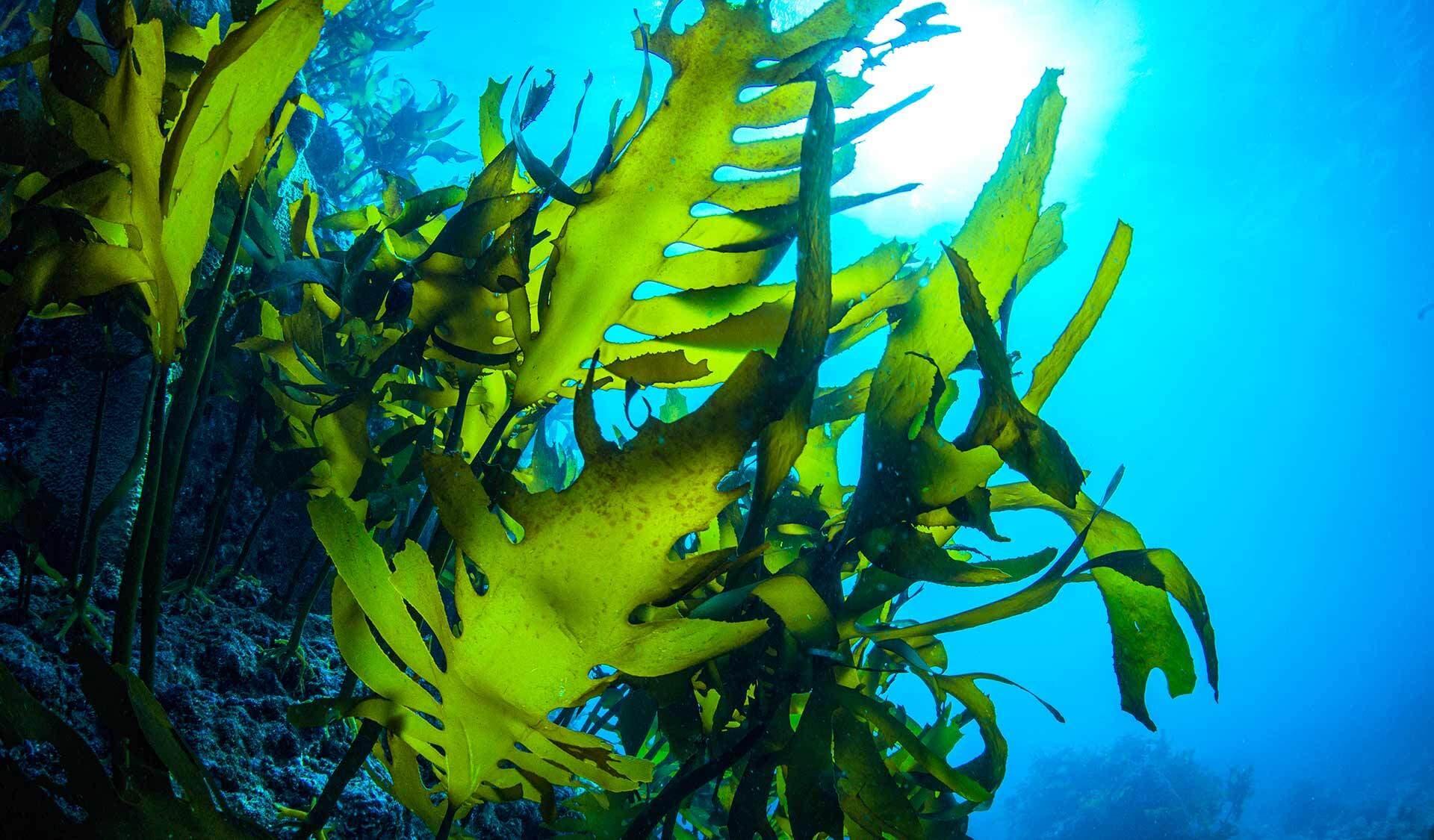 Grüner Tang bewegt sich am Meeresboden in der Strömung.