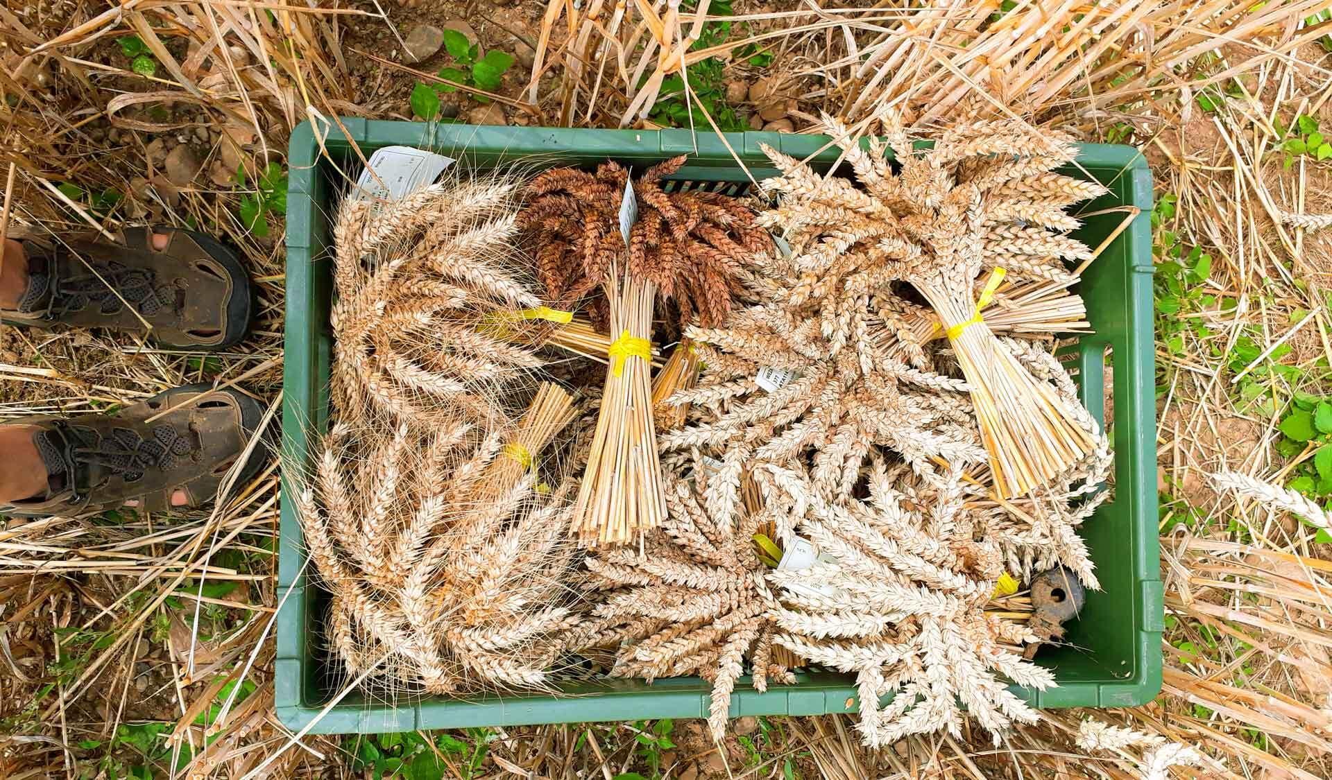 Weizen-Sträußchen in einer grünen Kiste