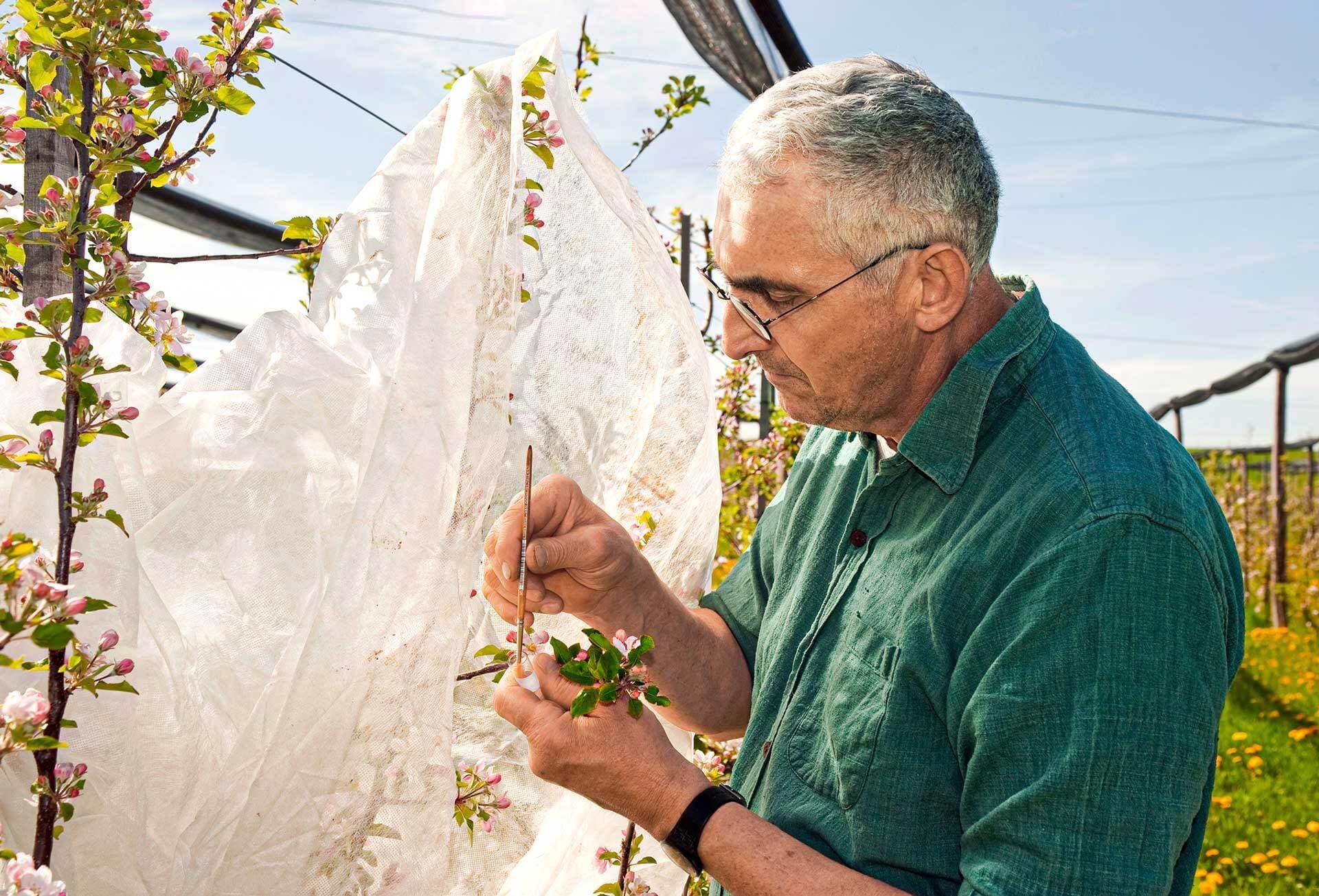 Mann im grünen Hemd untersucht Apfelbaumblüten