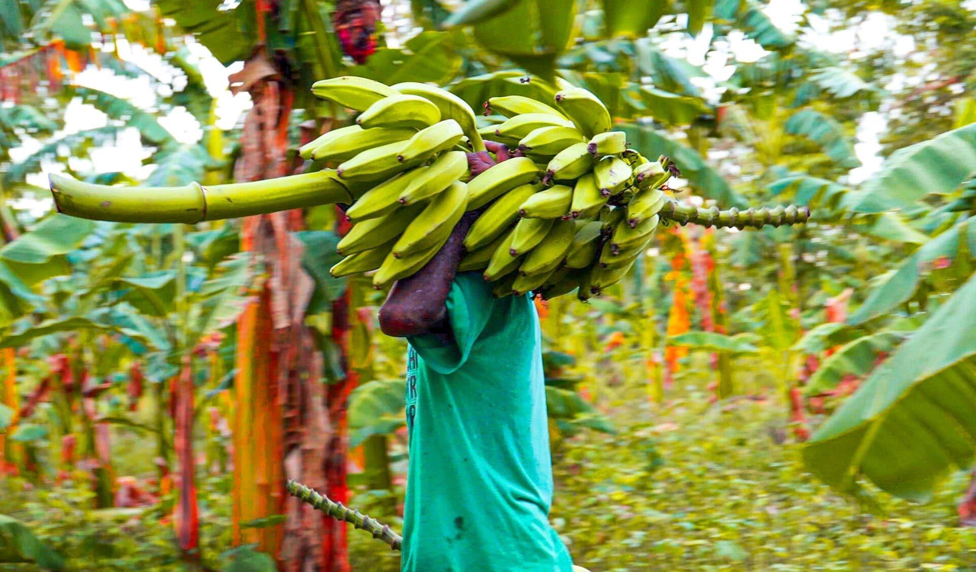 Erntehelfer mit einer Staude Bananen