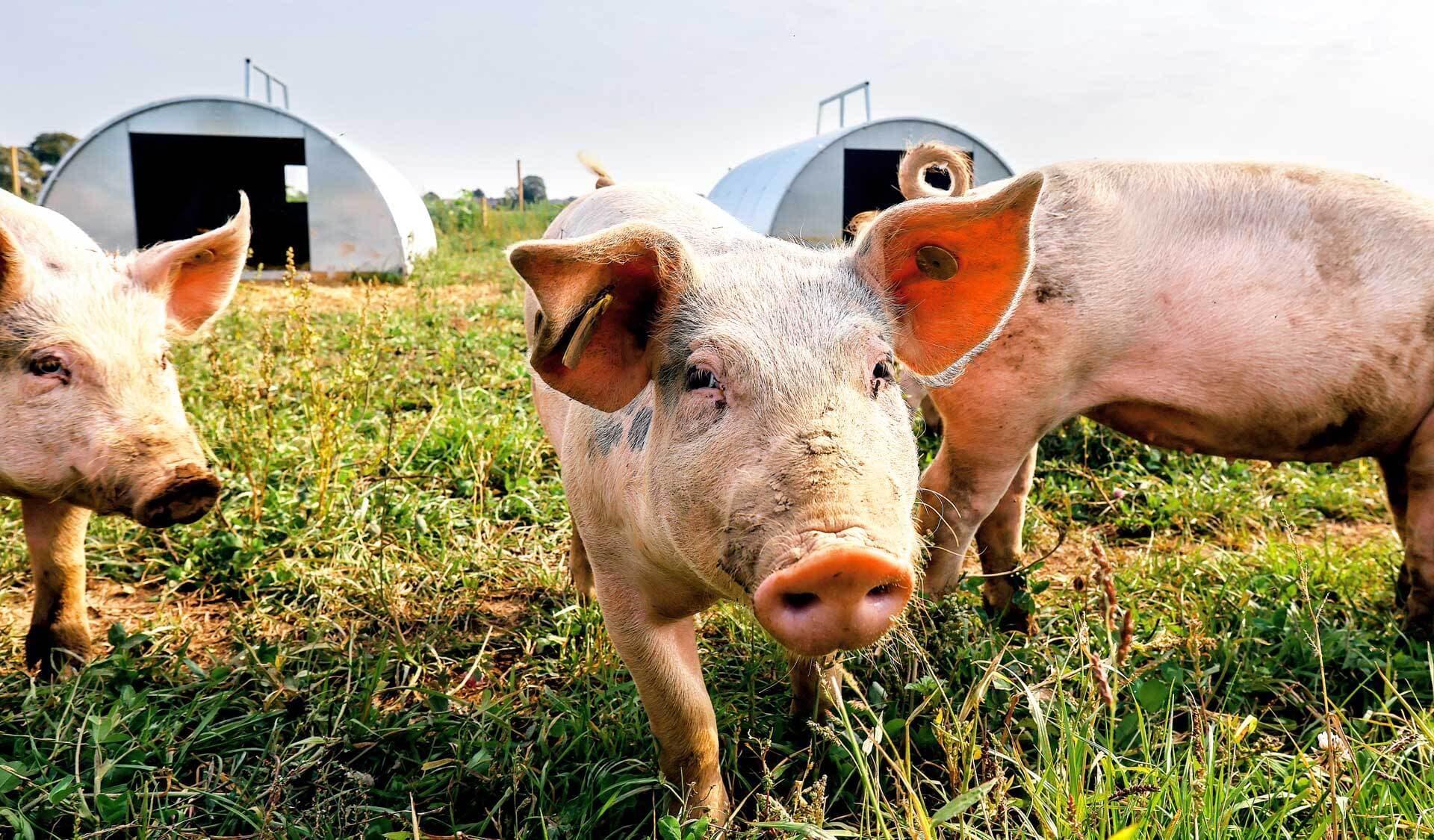 Bio-Schweine erkunden die Umgebung im Freien