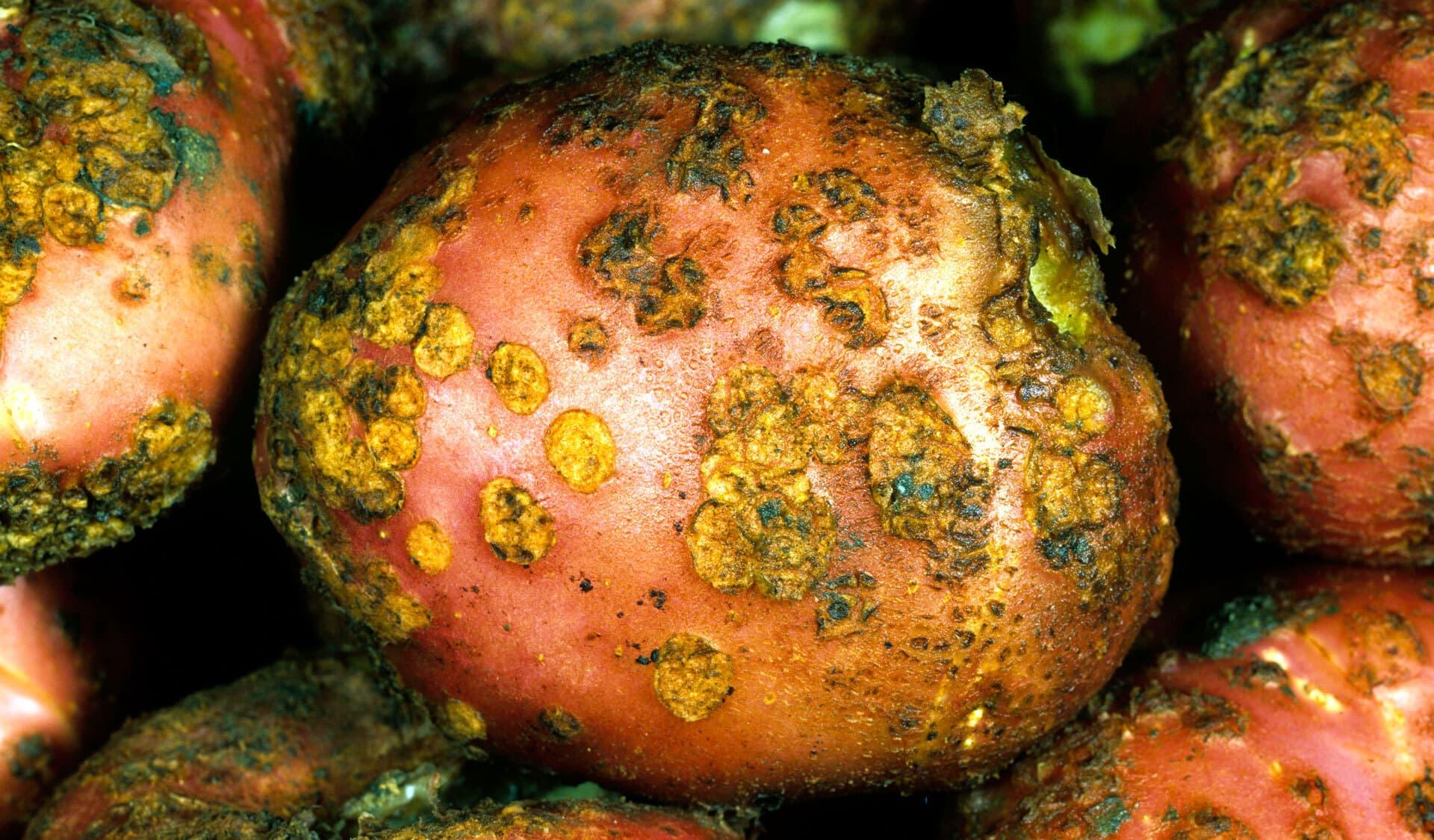 Kartoffeln mit grün-gelbem Kartoffelschorf
