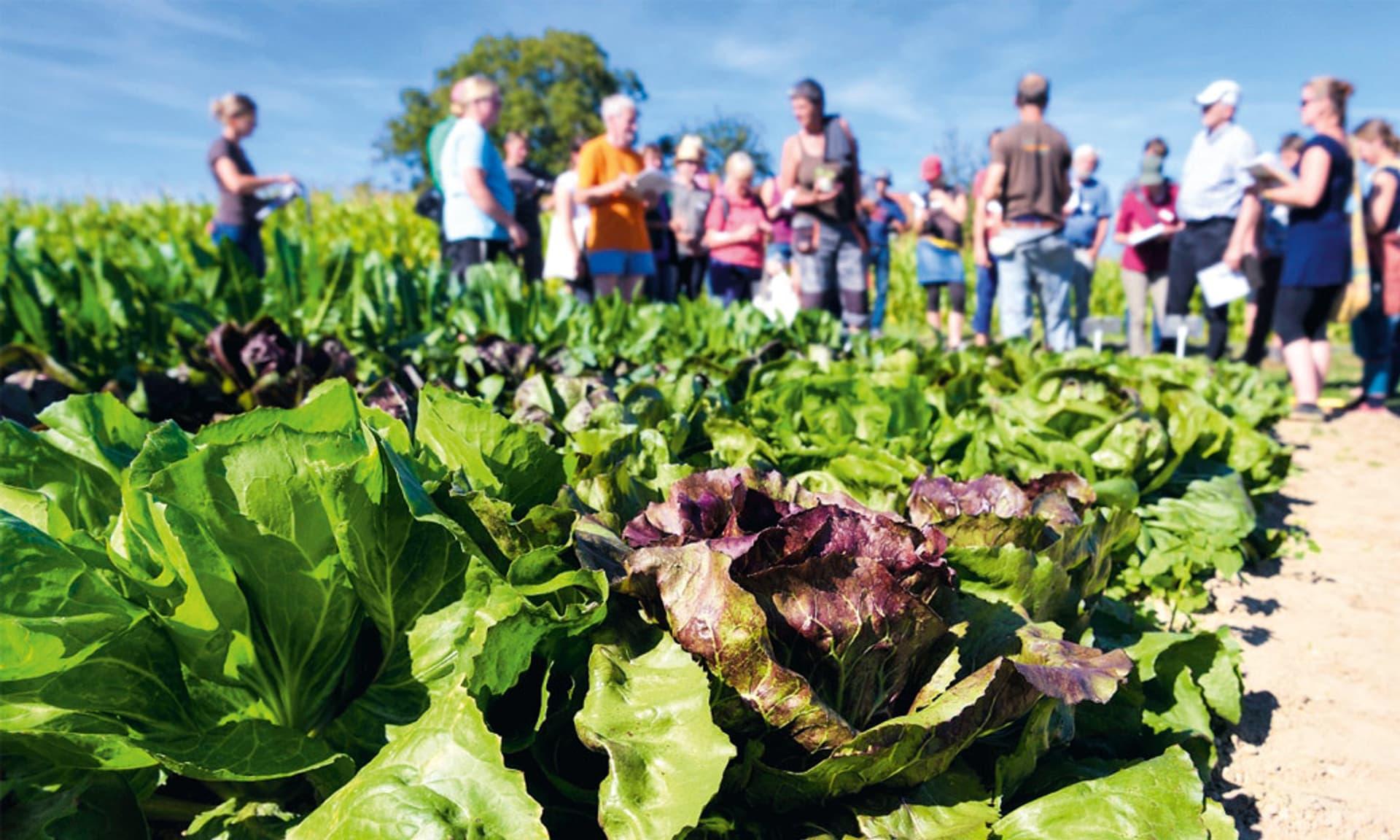 Menschen auf einem Feld mit Salatköpfen