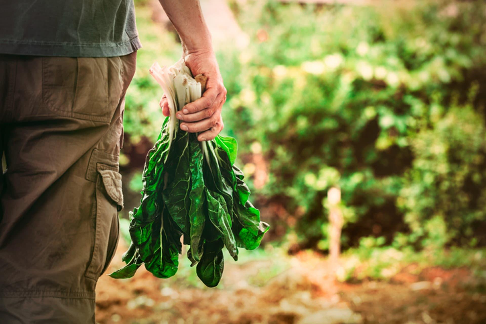 Bauer Landwirt Salat c mythja i Stock 486826302