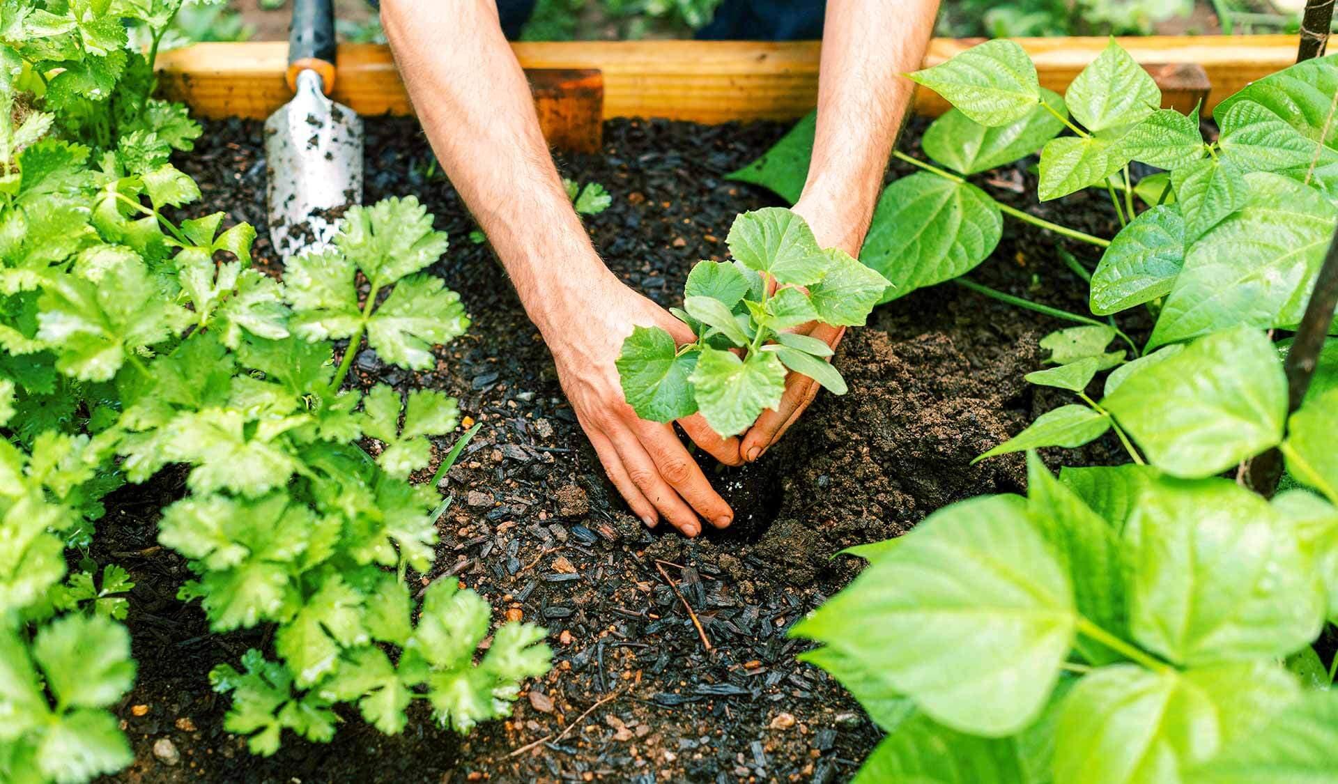 Hände pflanzen in einem Blumenbeet einen Setzling