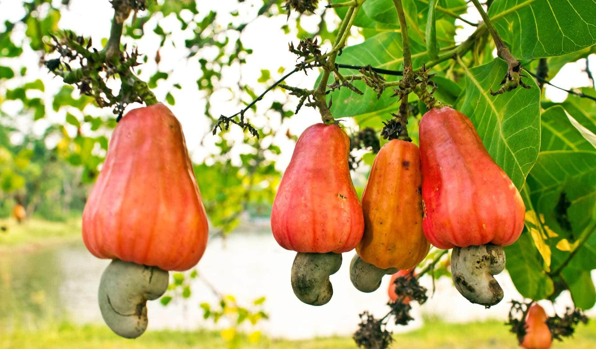 Orange Cashewäpfel am Baum