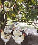 Ökologisch gezüchtete  Legehennen (Foto: Ökologische Tierzucht gGmbH)