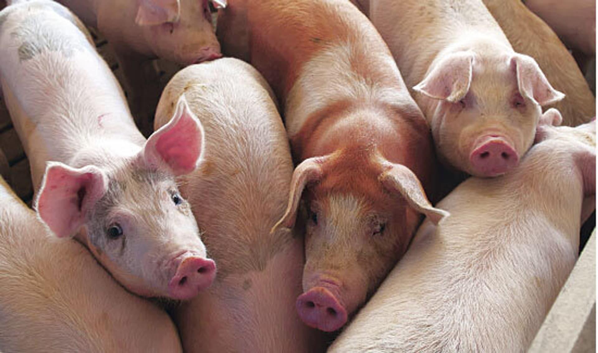 Schweinemast (Foto: plainpicture)