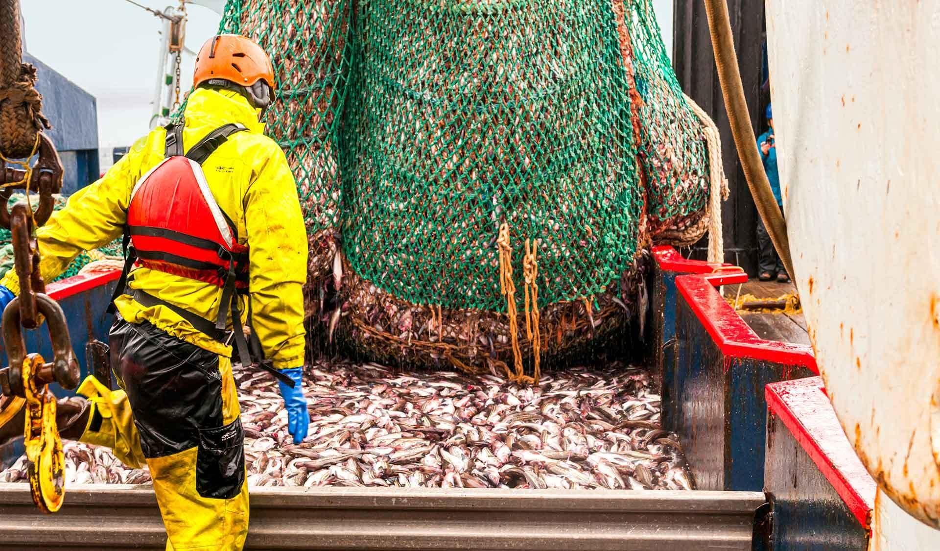 Ein riesiges Netz voller Fische wird auf ein Schiff entleert