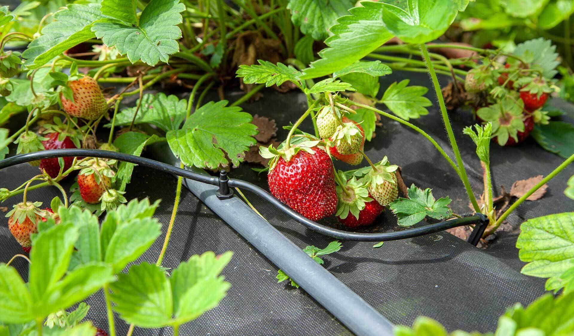 Erdbeerpflanzen mit reifen Erdbeeren