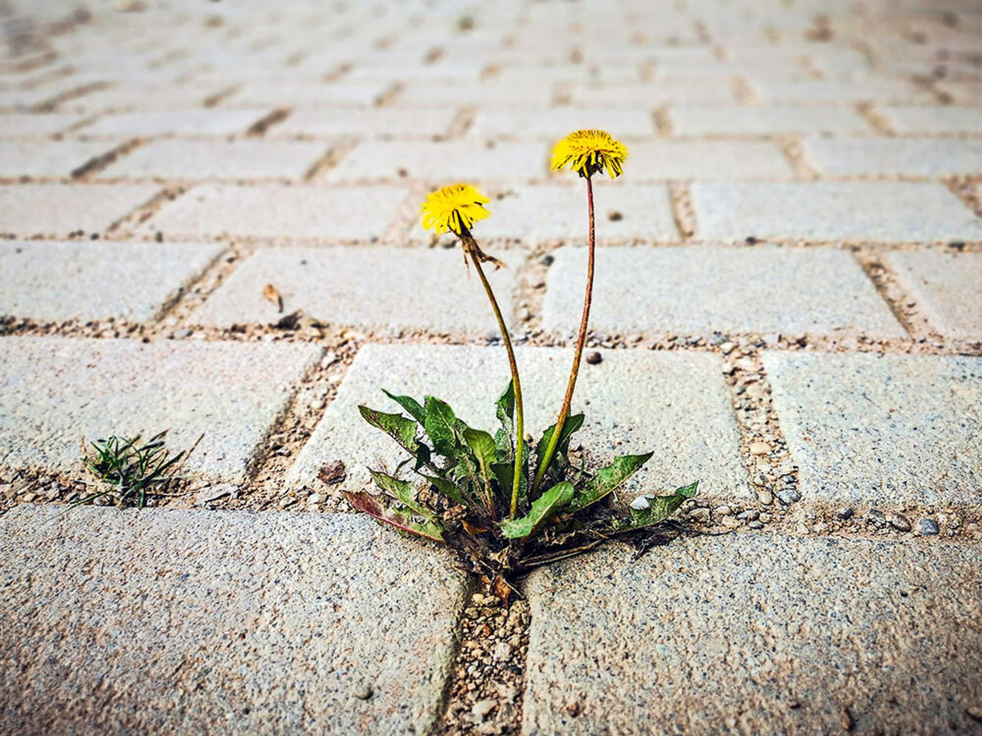 Eine Löwenzahn-Blume wächst in den Fugen von Pflastersteinen.