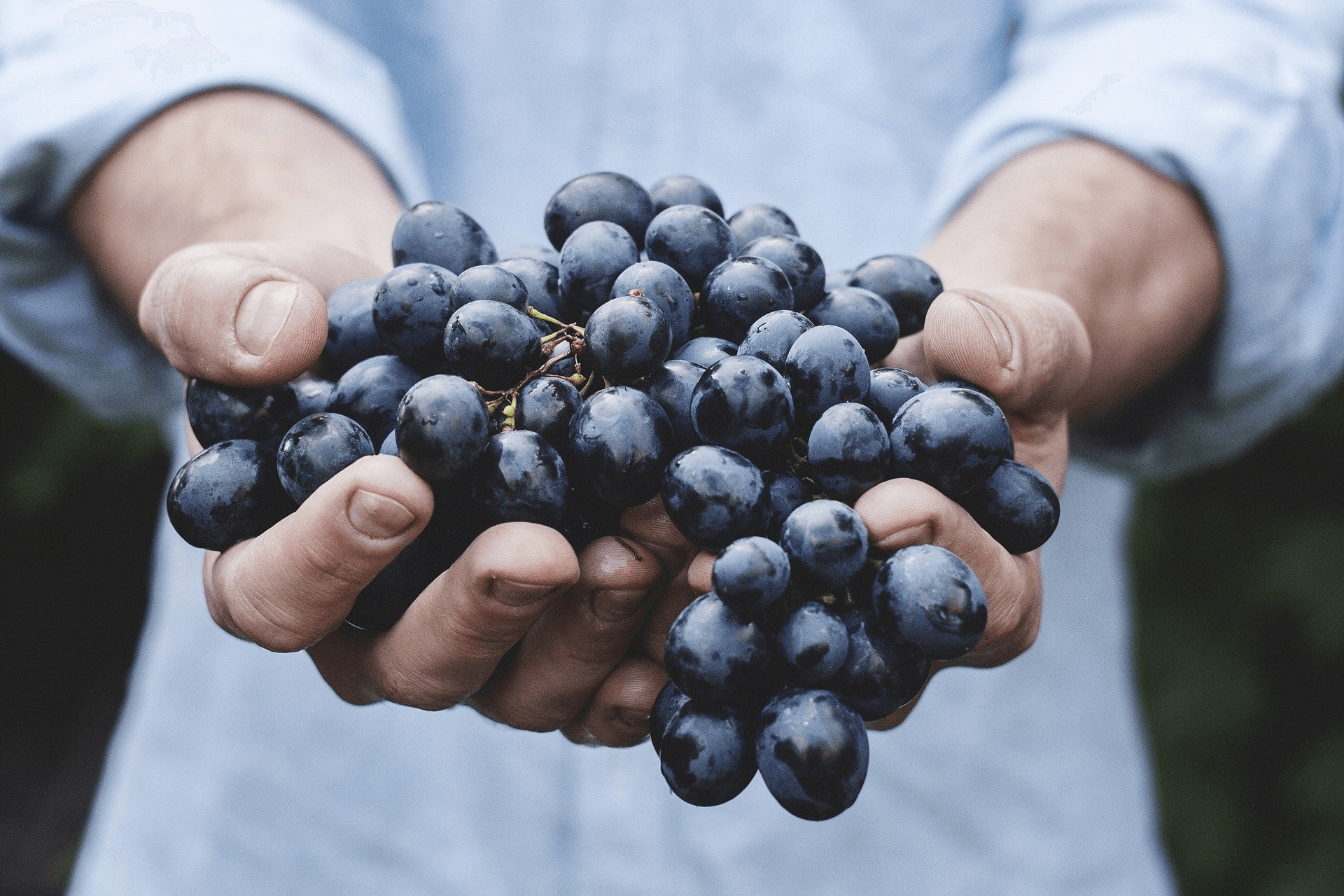 Two hands holding blue grapes