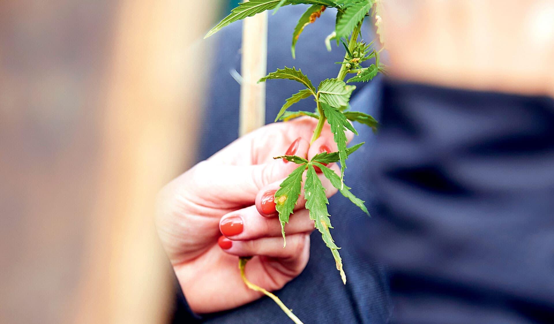 Eine gezupfte Hanfpflanze in einer Hand
