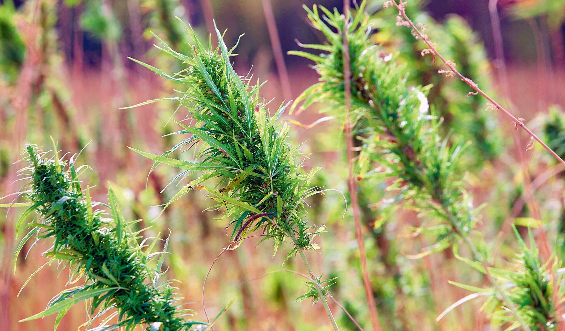 Hanfpflanzen auf dem Feld