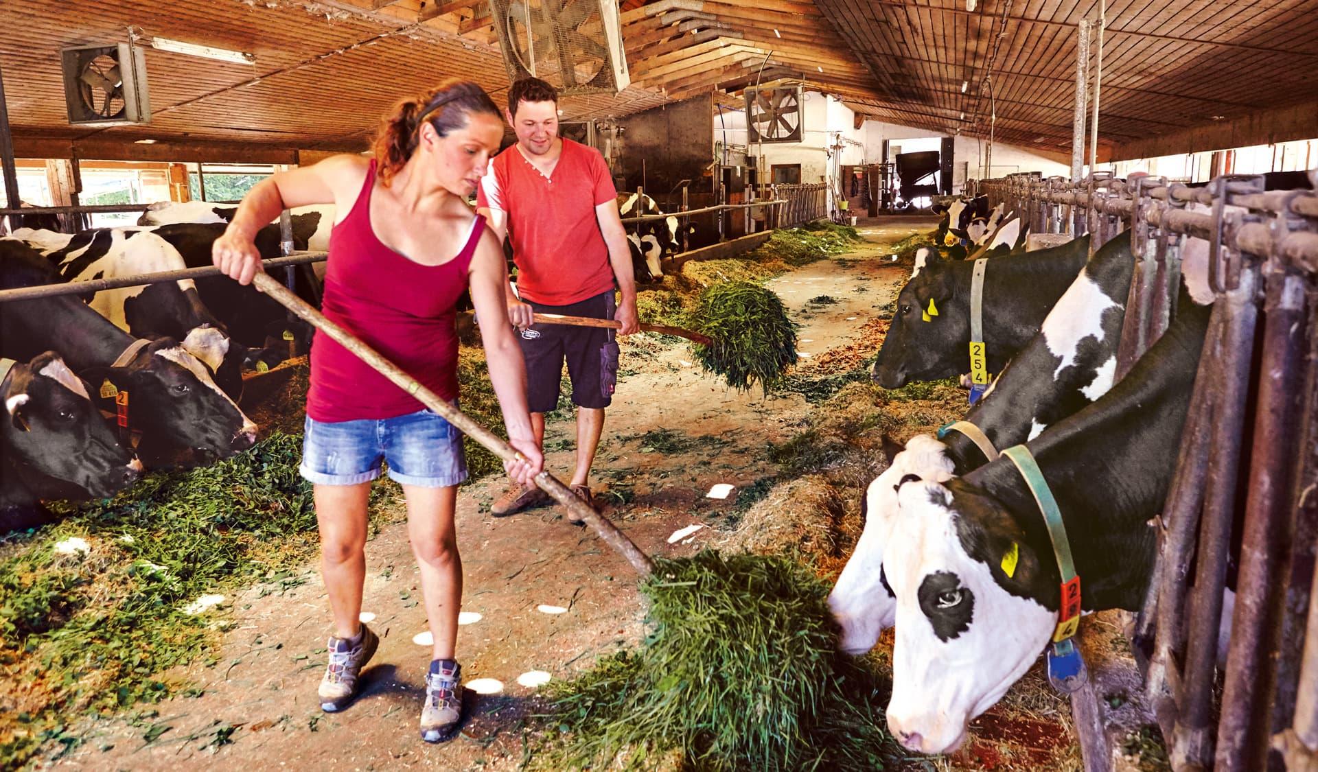 Frau und ein Mann in roten T-Shirts füttern Kühe im Stall