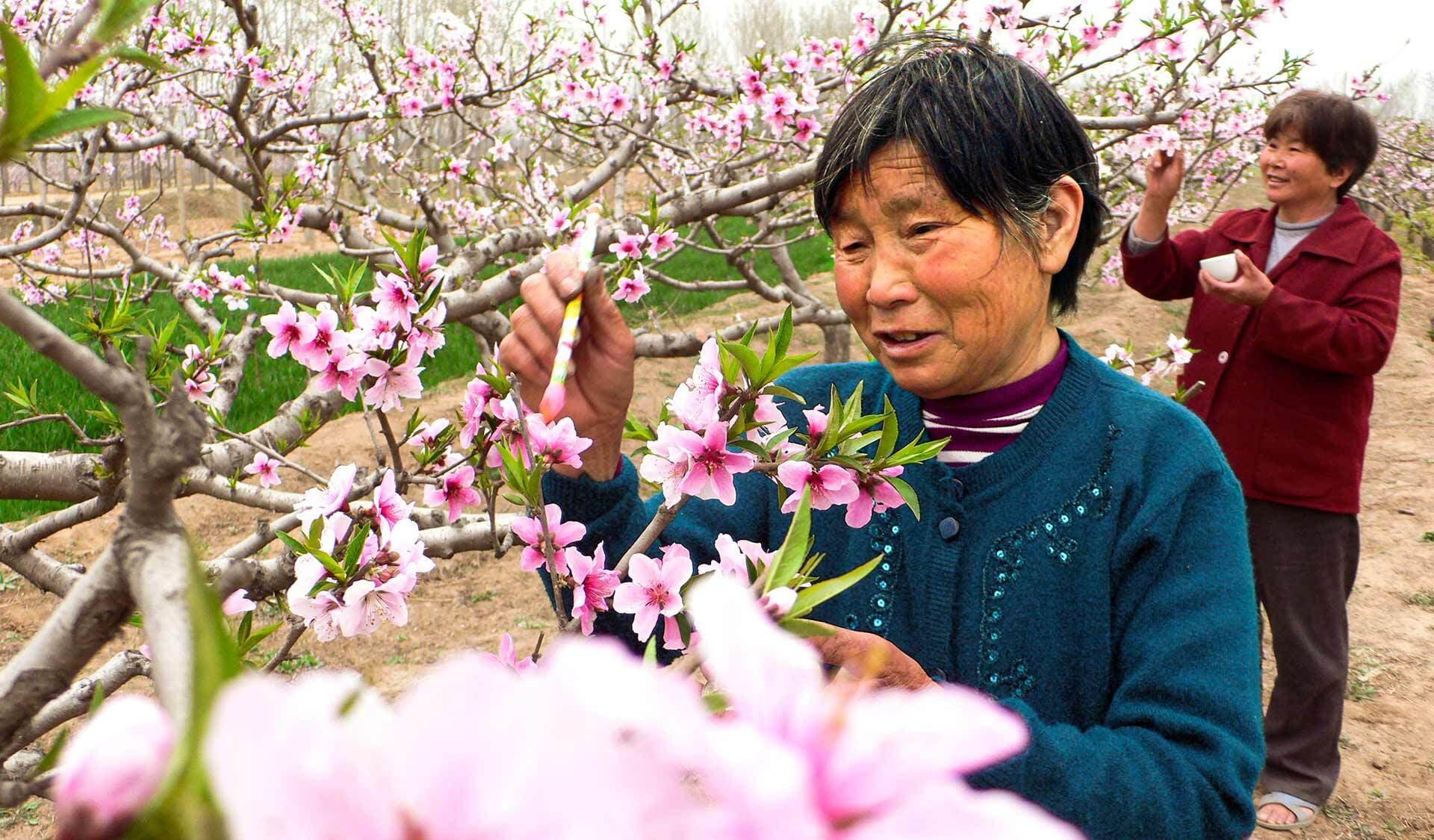 Eine Frau in China bestäubt rosa Blüten mittels einer Federwedel mit der Hand