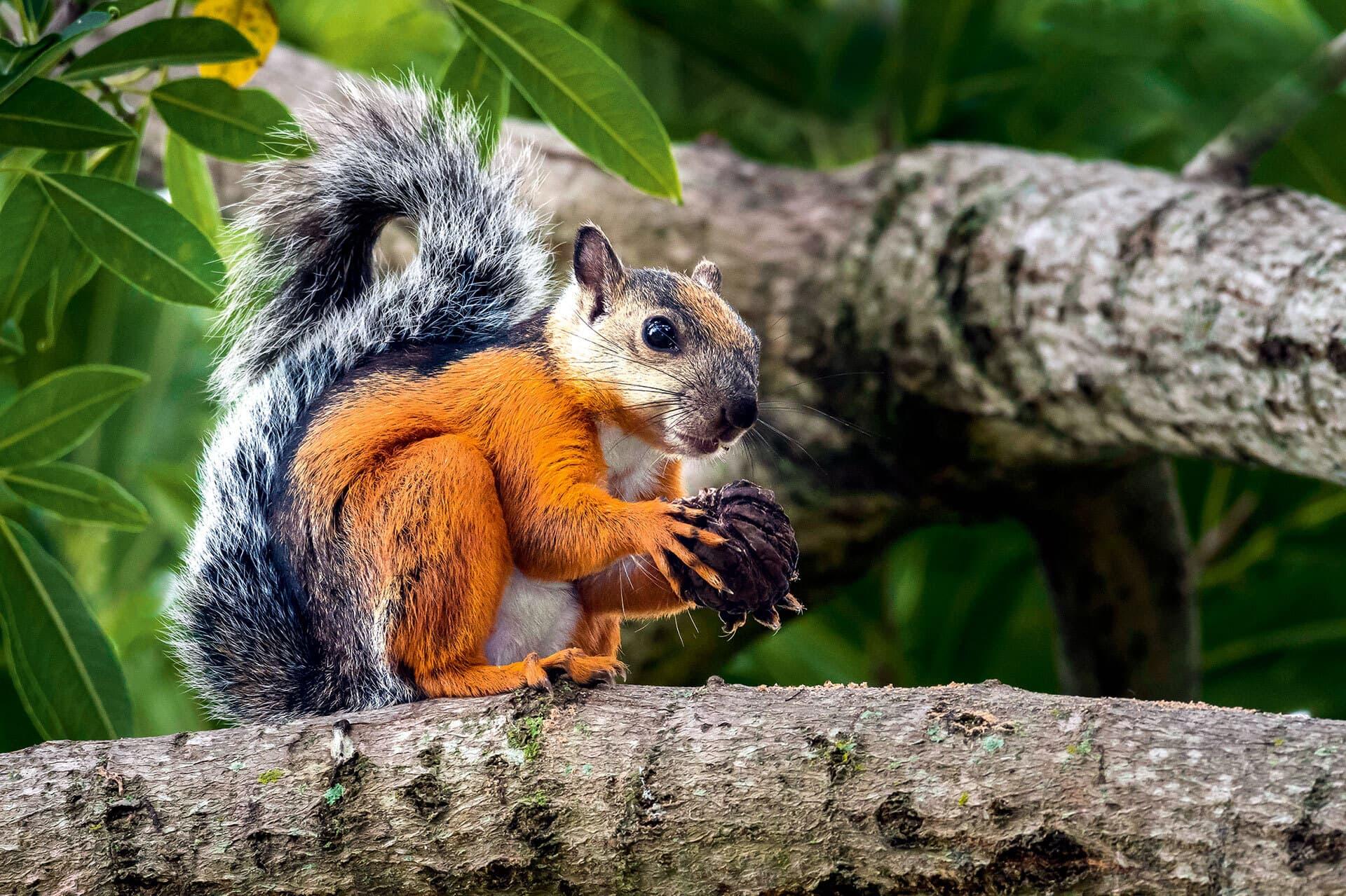 Oranges Hörnchen mit grauem Schwanz