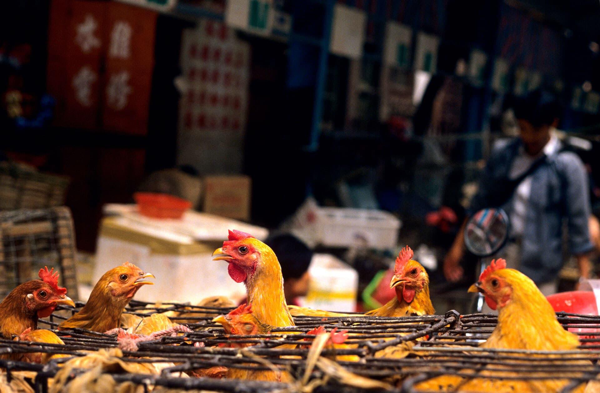 Hühner in engen Käfigen auf einem Wildtiermarkt