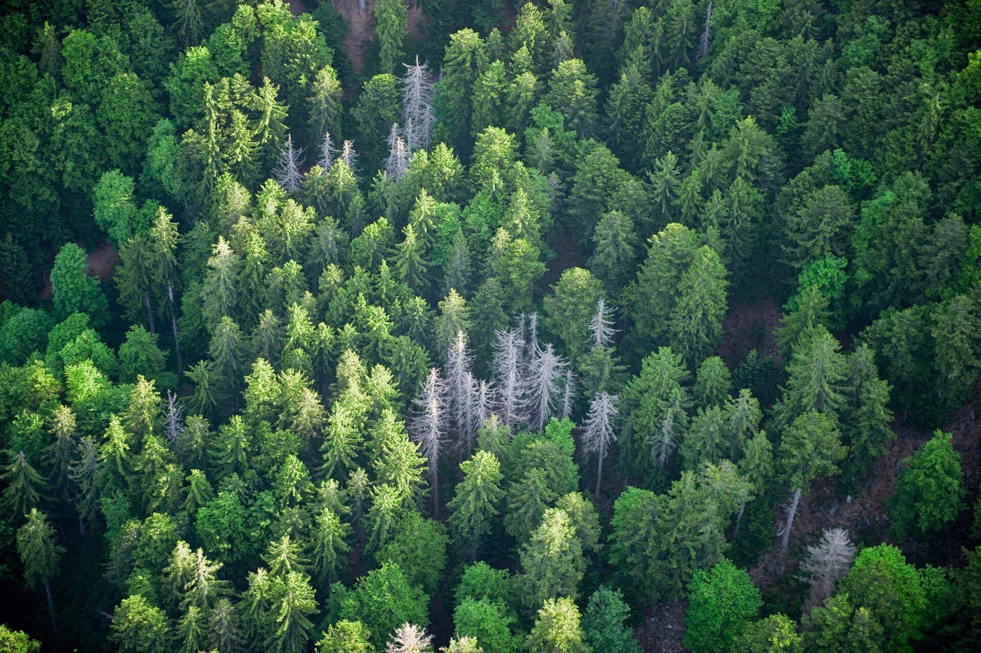 Wald mit gesunden und kranken Bäumen von oben fotografiert