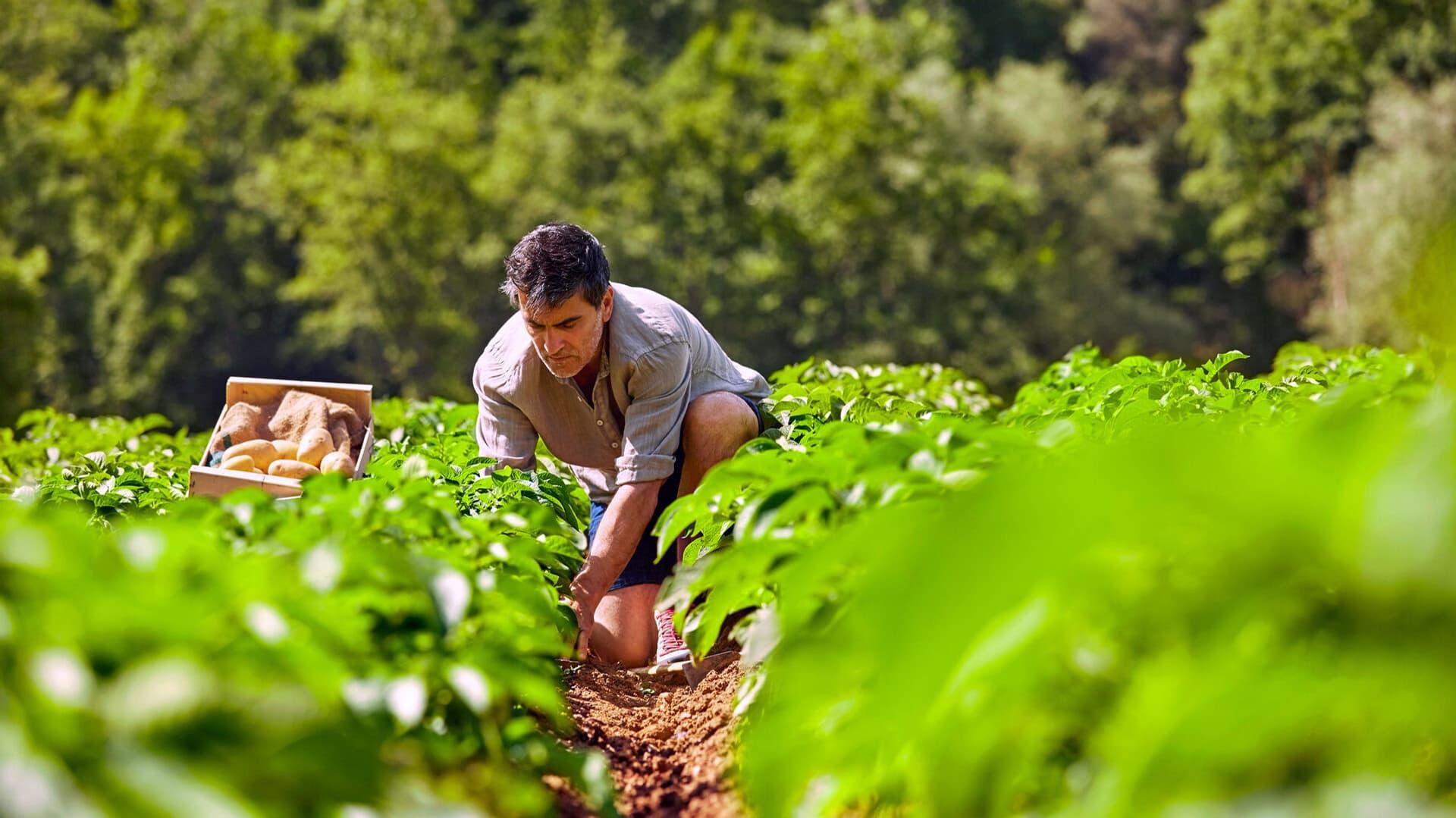 Ein Mann bei der Ernte auf dem Feld inmitten grüner Pflanzen.