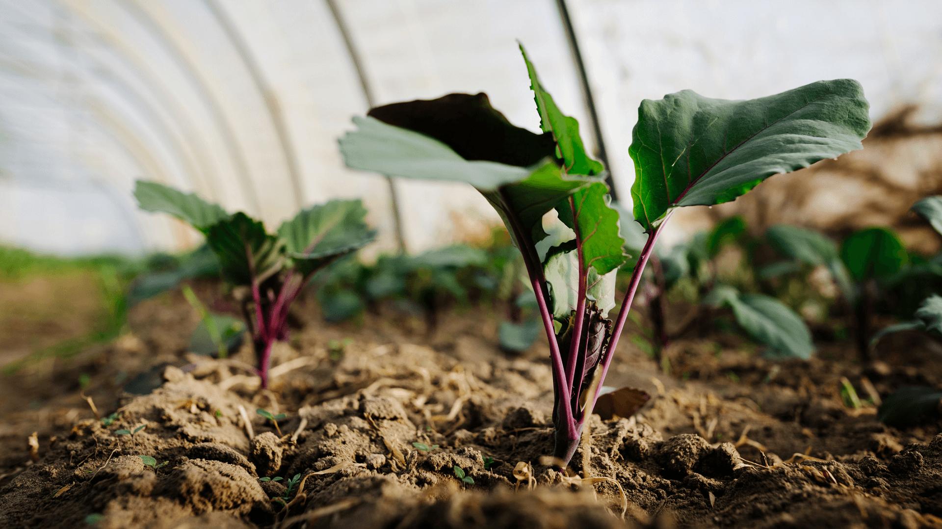 Kohlrabipflanze im Gewächshaus