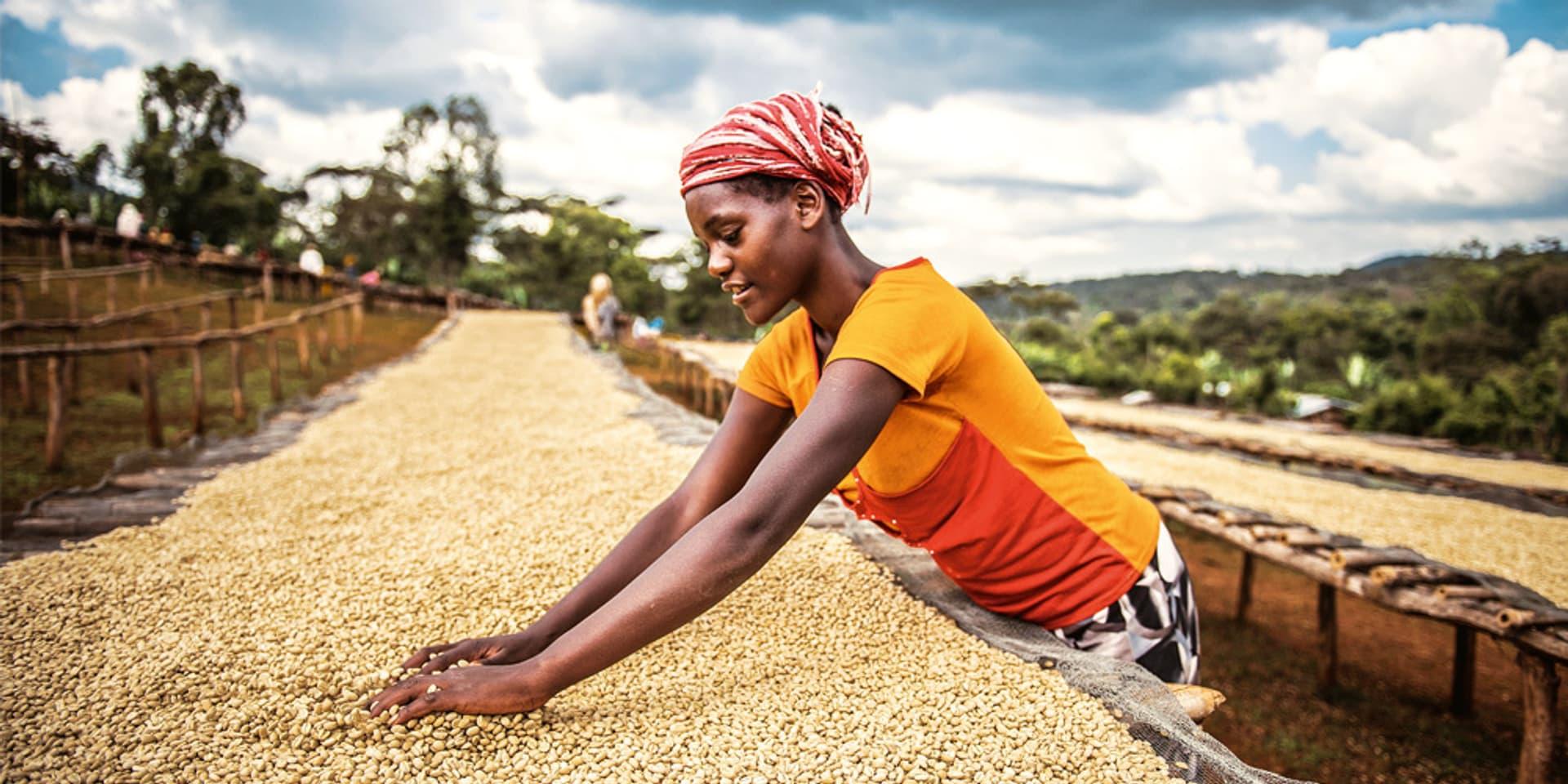 Eine Frau mit Kopftuch sortiert helle Kaffeebohnen