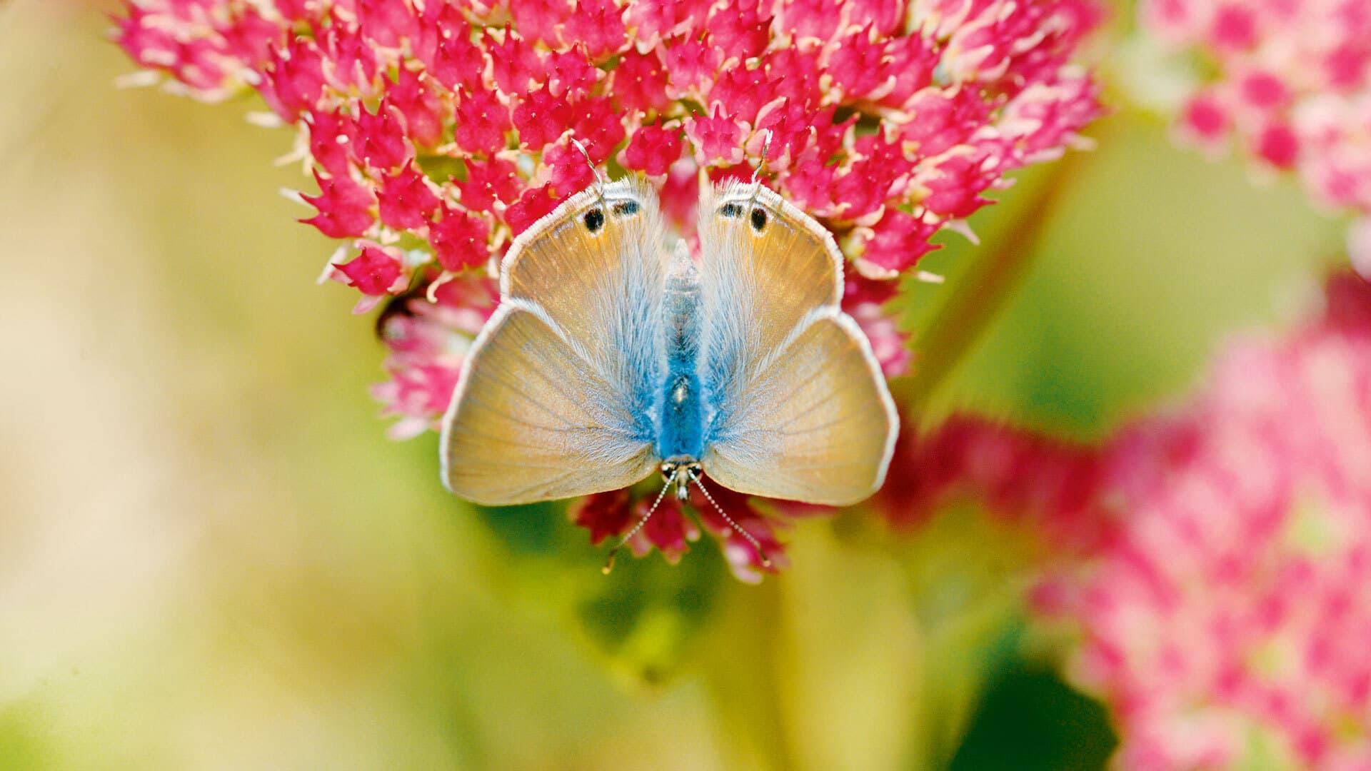 Ein Schmetterling auf offenen kleinen roten Blüten