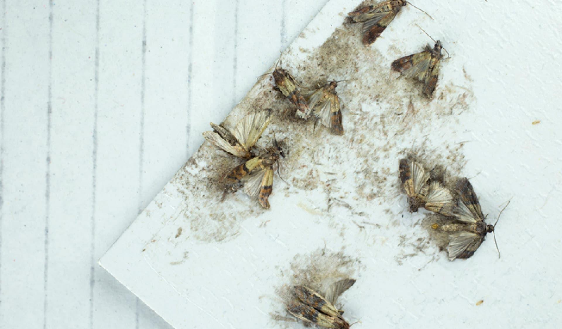 Tote Lebensmittelmotten auf Phäromonfalle