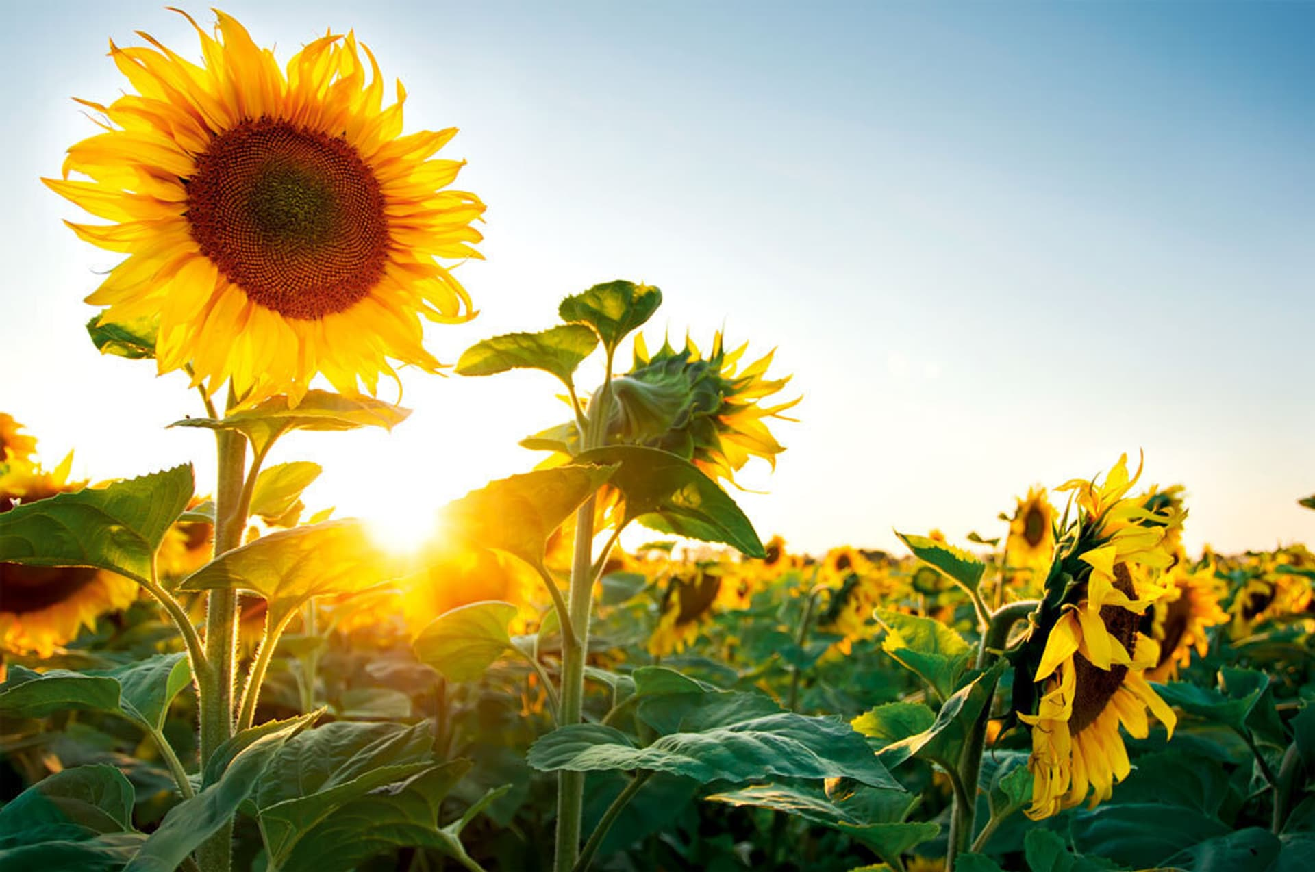 Sonnenblumen im Sonnenaufgang