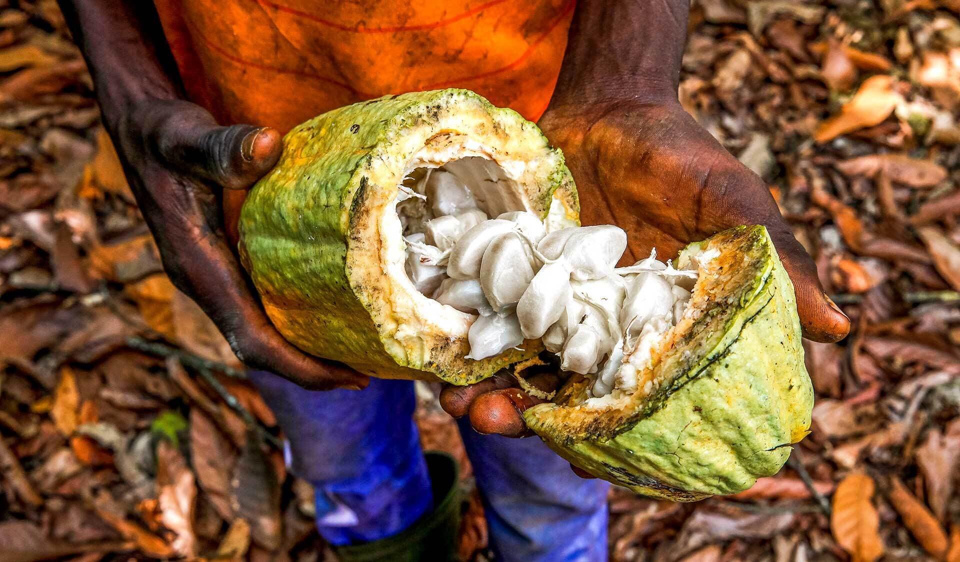 Afrikanischer Junge hält eine geöffnete Kakaofrucht in Händenden