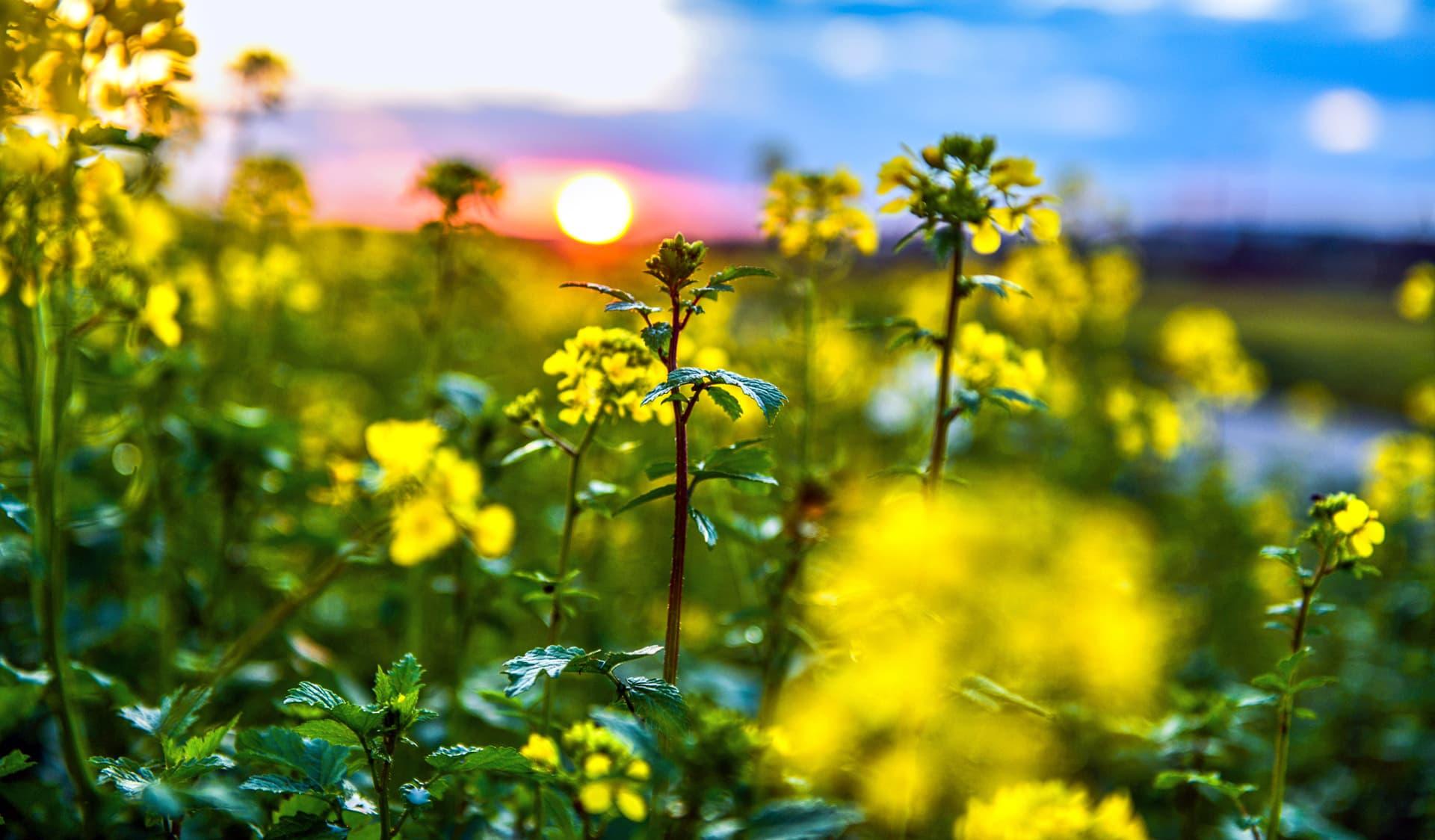 Gelb blühendes Rapsfeld bei Sonnenaufgang
