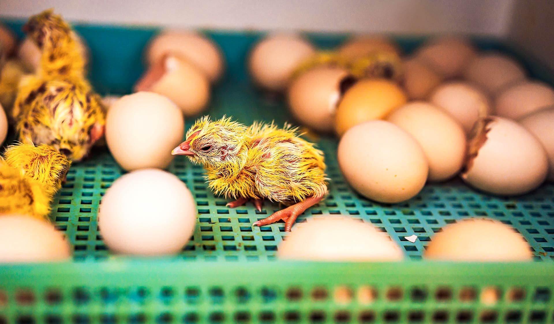 Frisch geschlüpftes Kueken, umgeben von Eiern