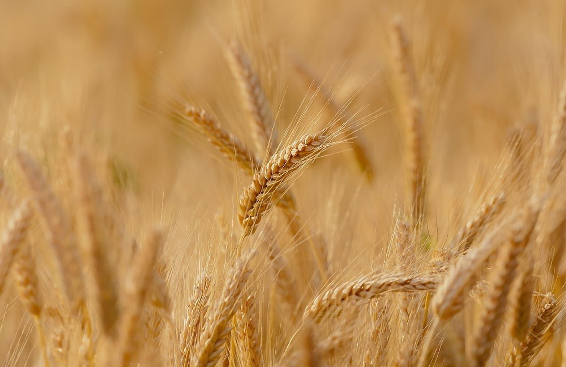 Weizen c Pixabay Candiix