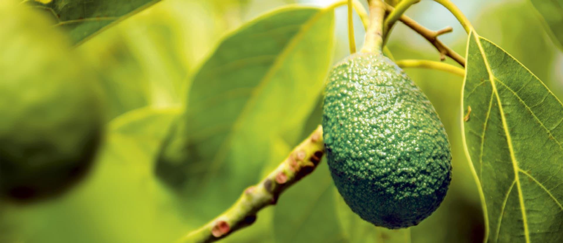 Eine grüne Avocado an einem Ast
