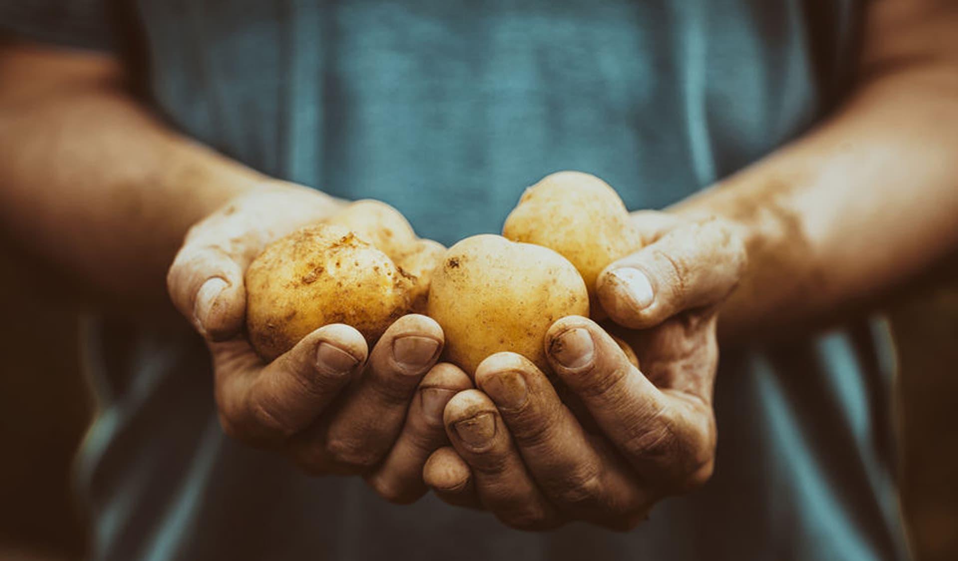Erdige Hände mit Kartoffeln
