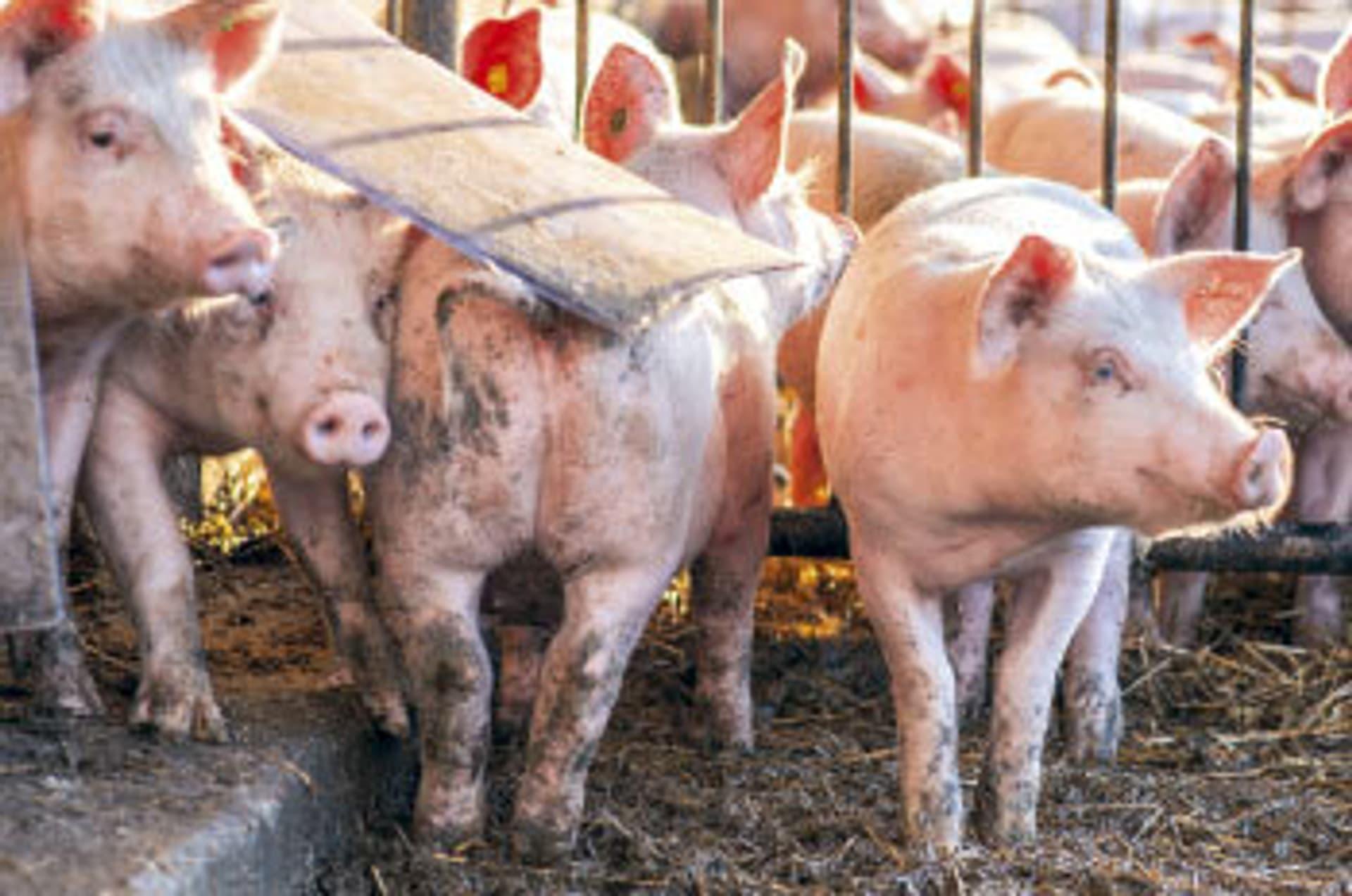 Schweine tummeln sich im Auslauf.